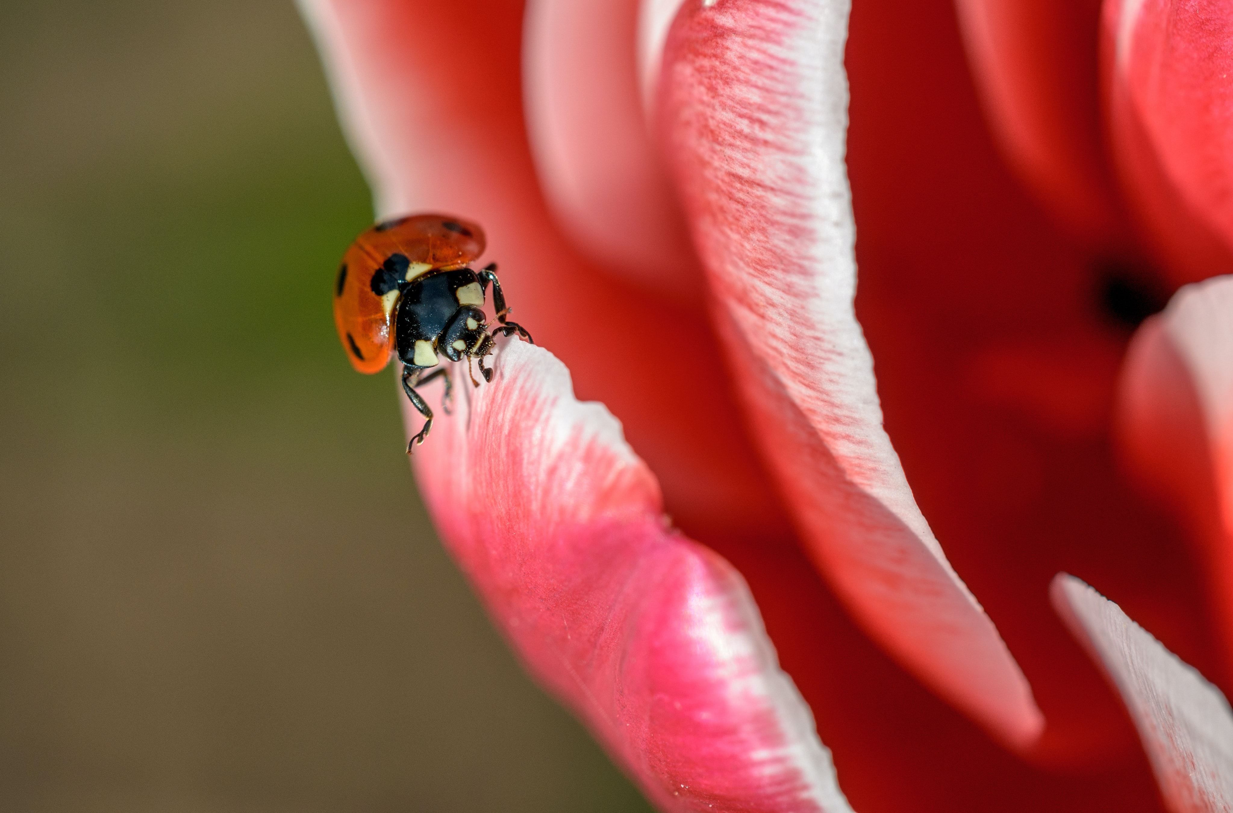A macro shot of a red ladybug climbing up a red flower petal