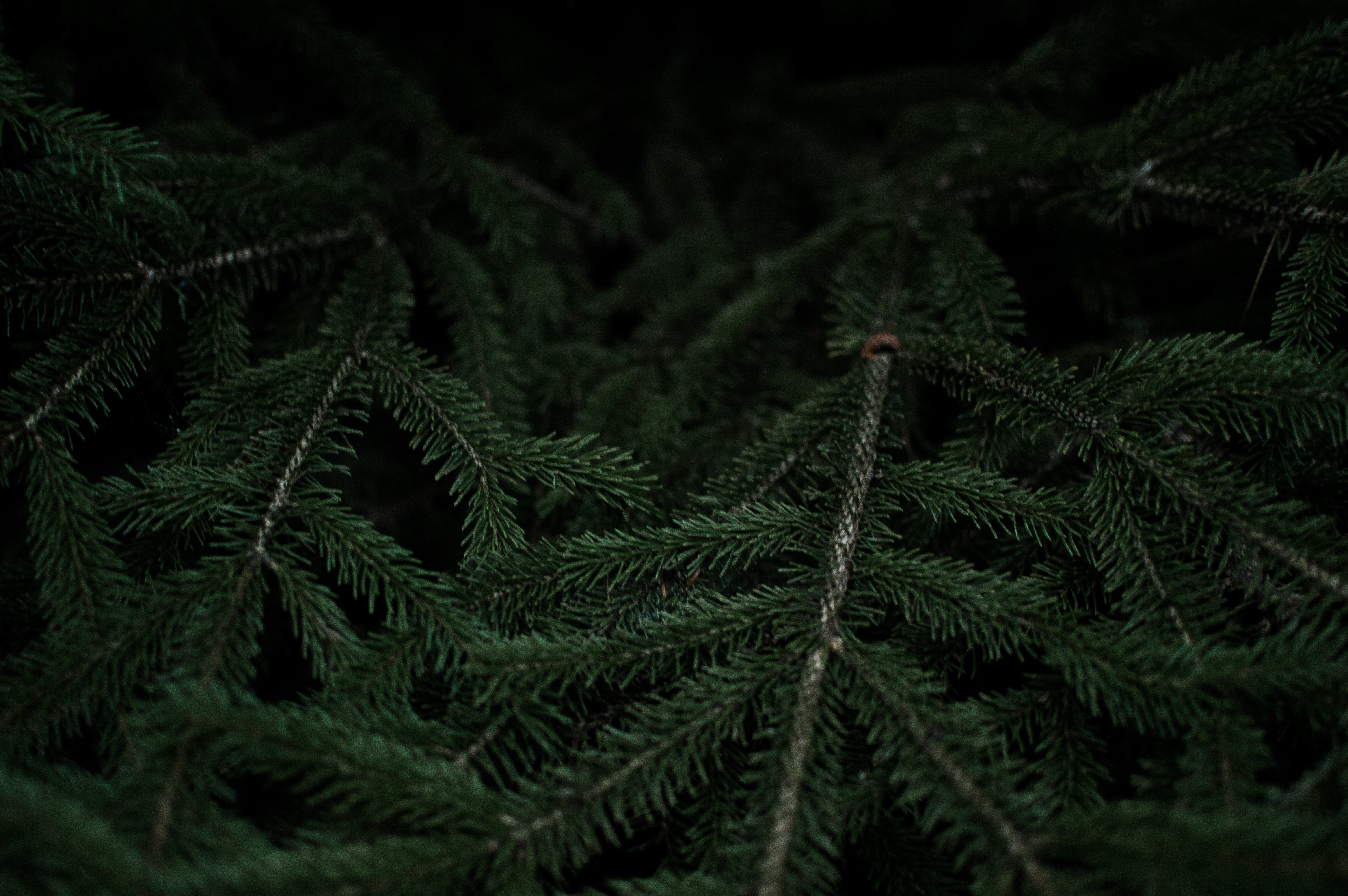 Close-up of dark green fir branches