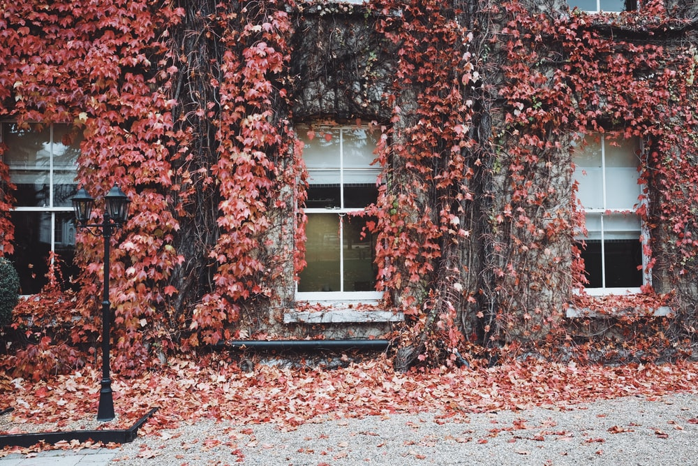pink leaves covered in white house