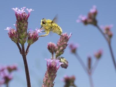 yellow bee on pink petaled flower