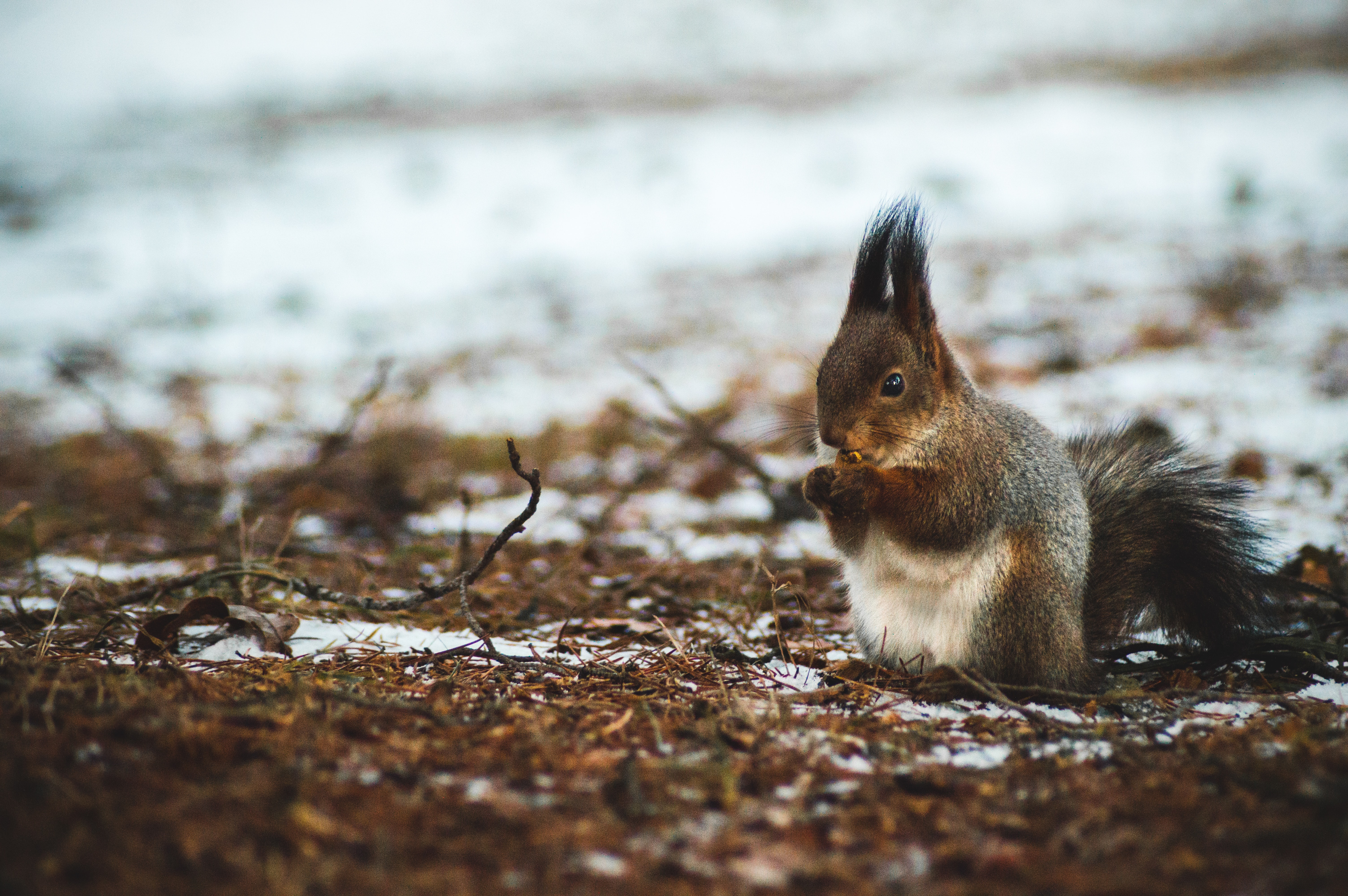 Cute long haired squirrel on a snowy forest floor