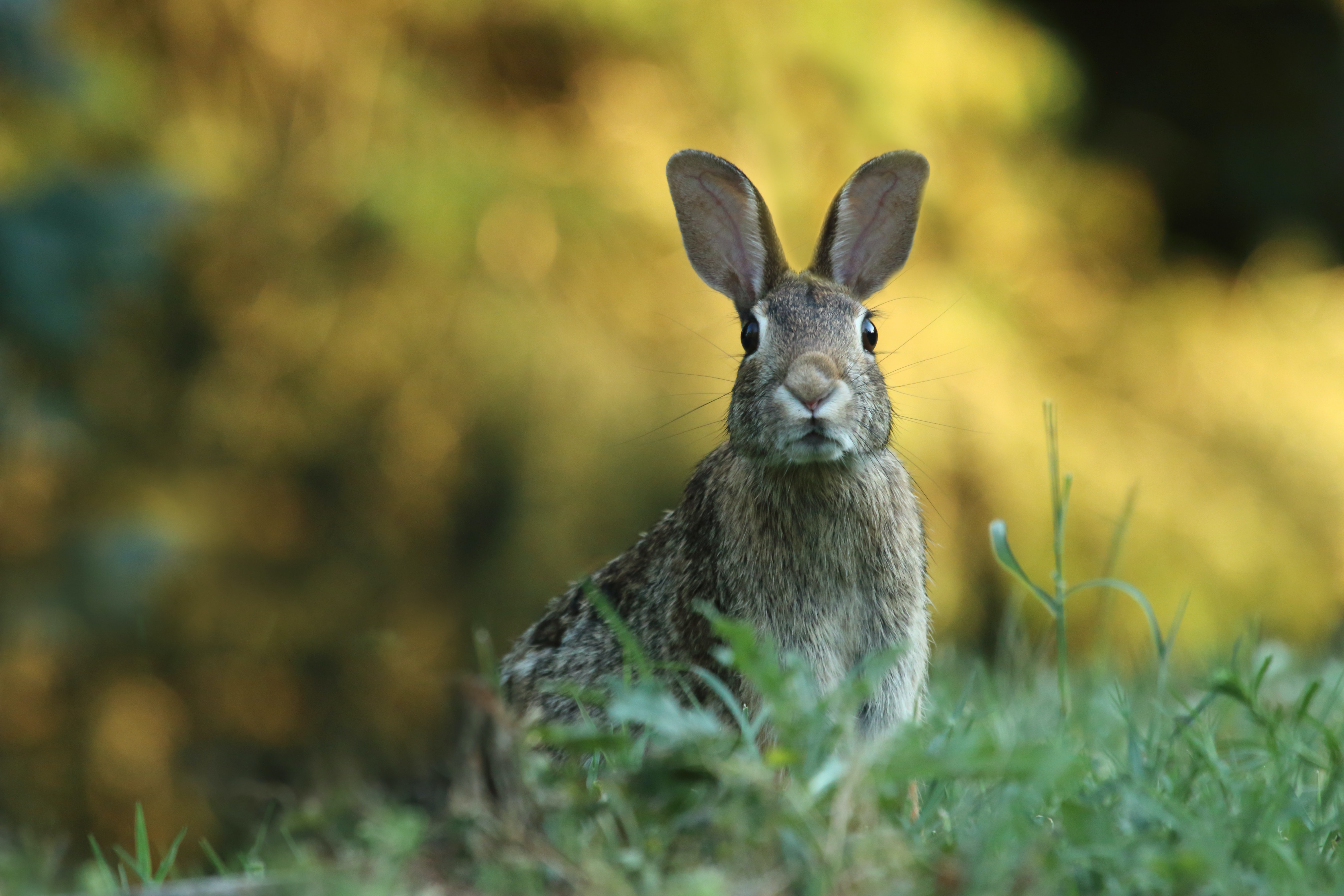 Portrait of a wild rabbit alert of predators in a field