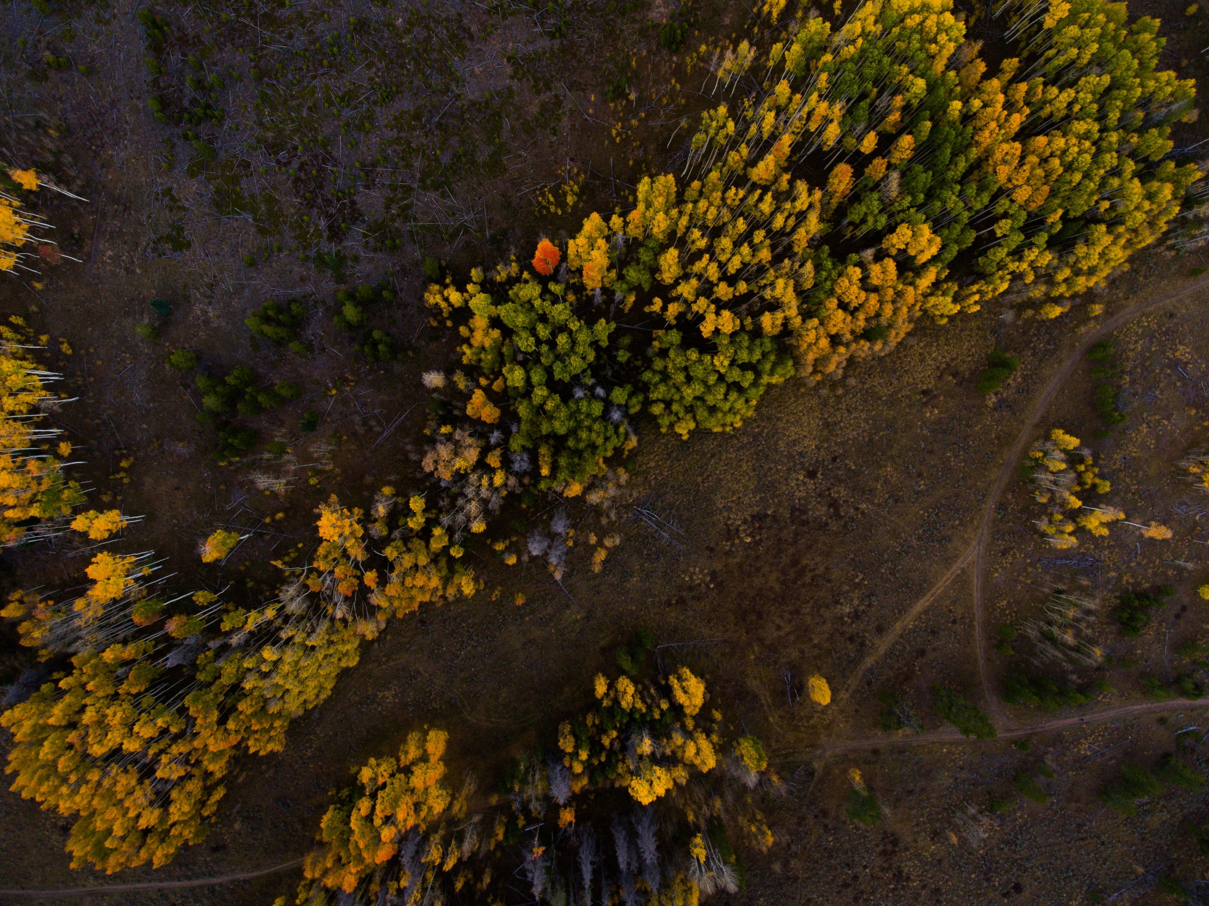 A drone shot of a forest with yellow and green trees