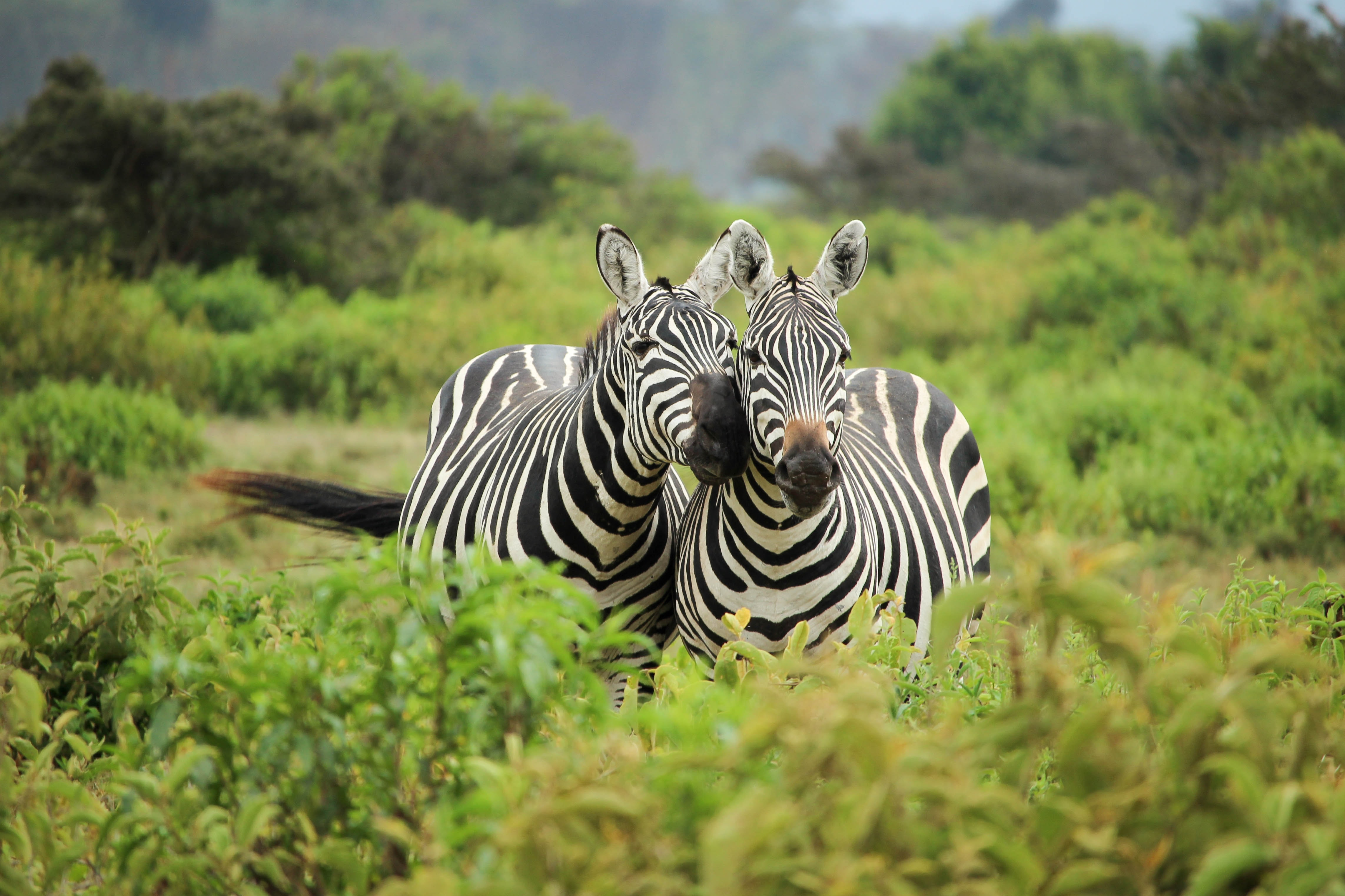 two zebra near bushes