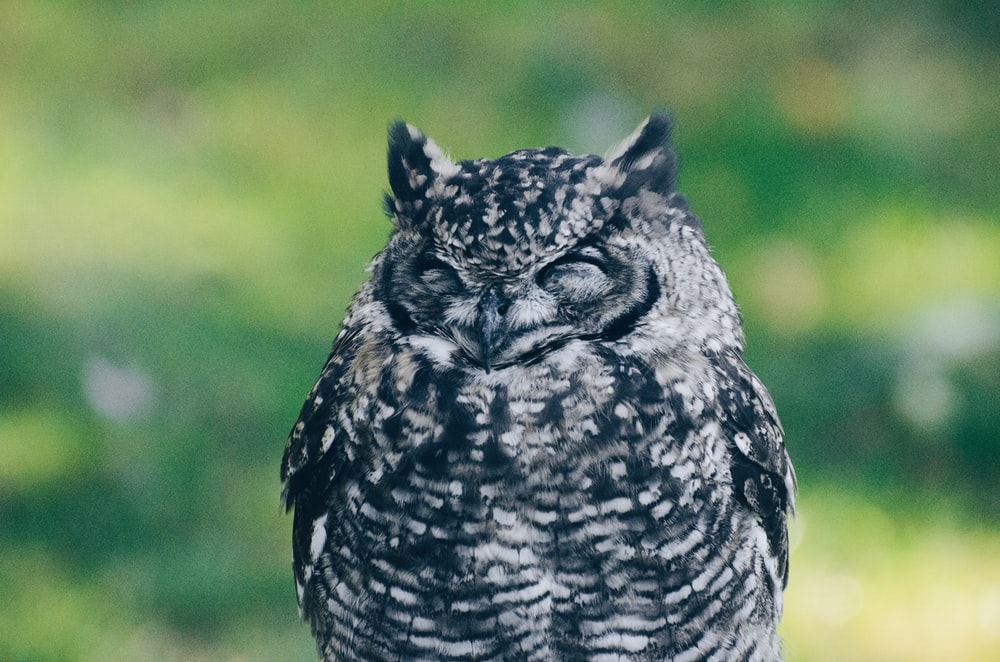 black and gray owl