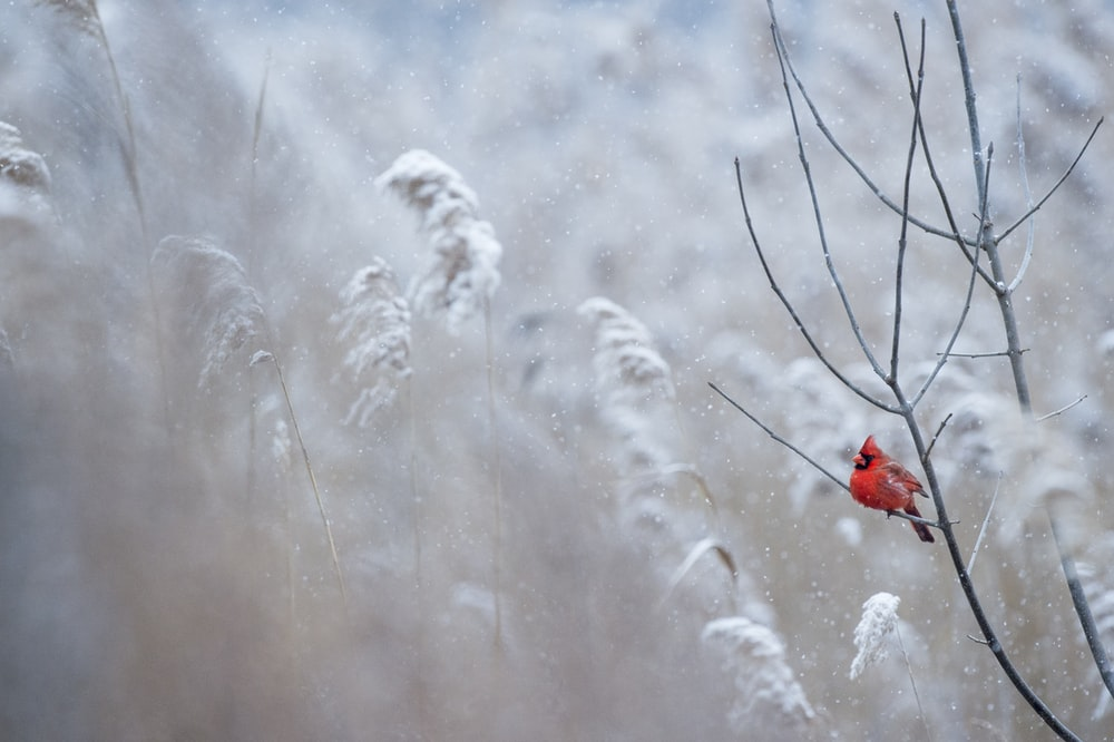 selective focus photography of cardinal bird on tree branch
