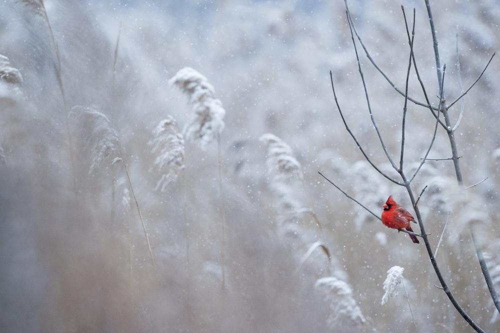selective focus photography of cardinal bird on tree branch