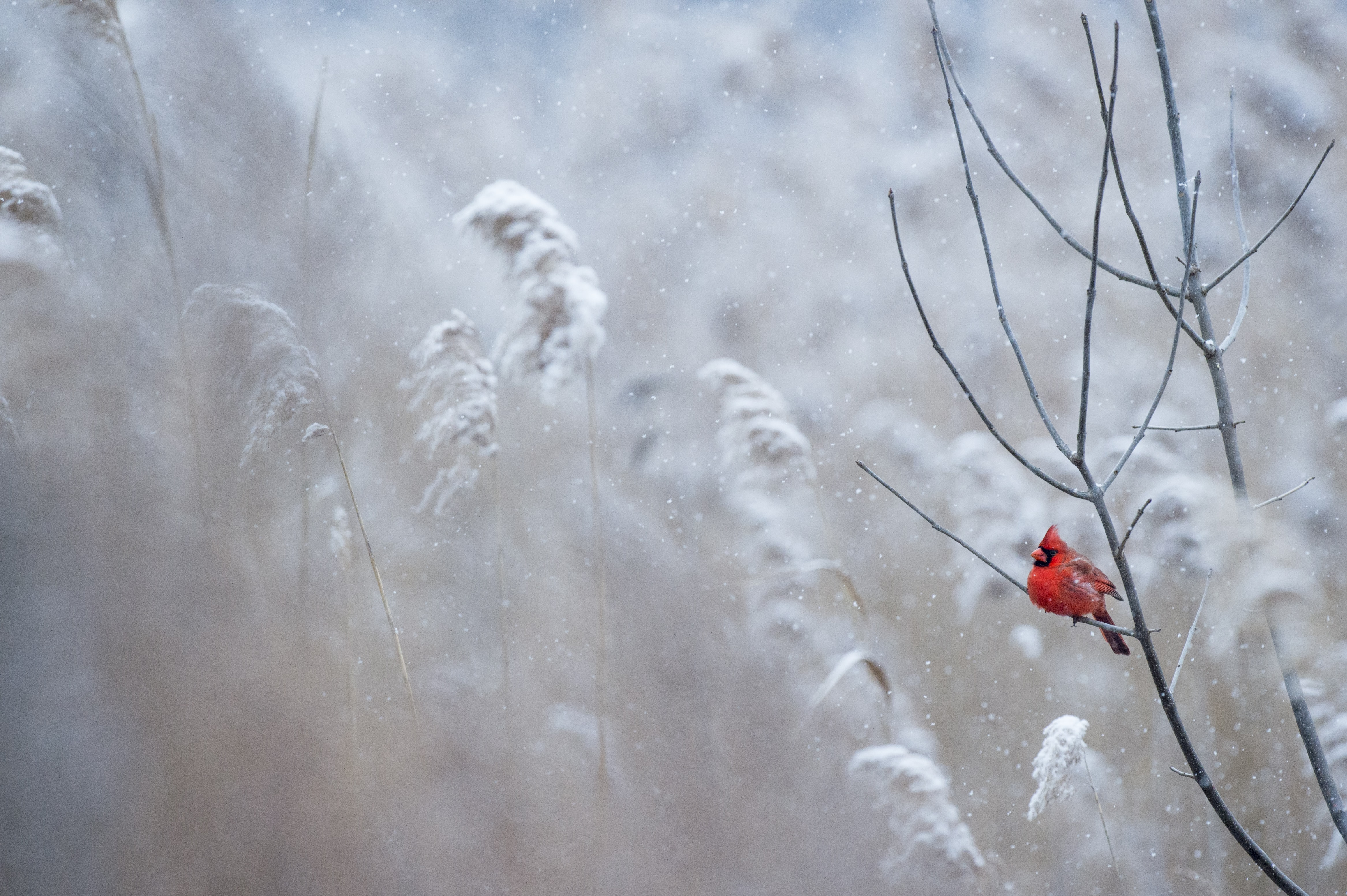 A bright red cardinal bird sitting on a bare branch against the pale backdrop of tall grasses