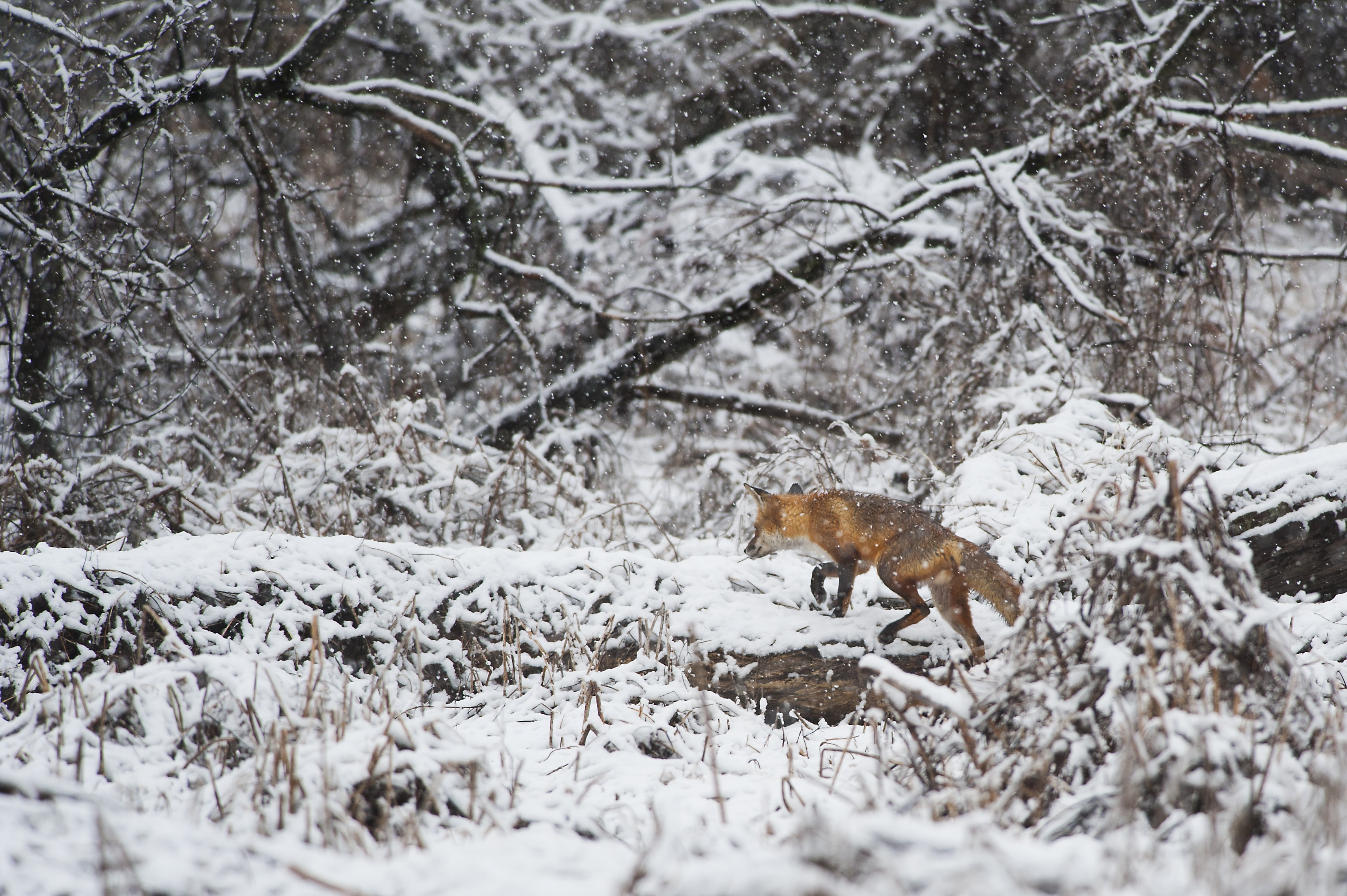 A graceful fox walking through a snowy forest in Palmyra Cove Nature Park