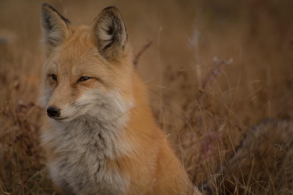 selective photo of fox