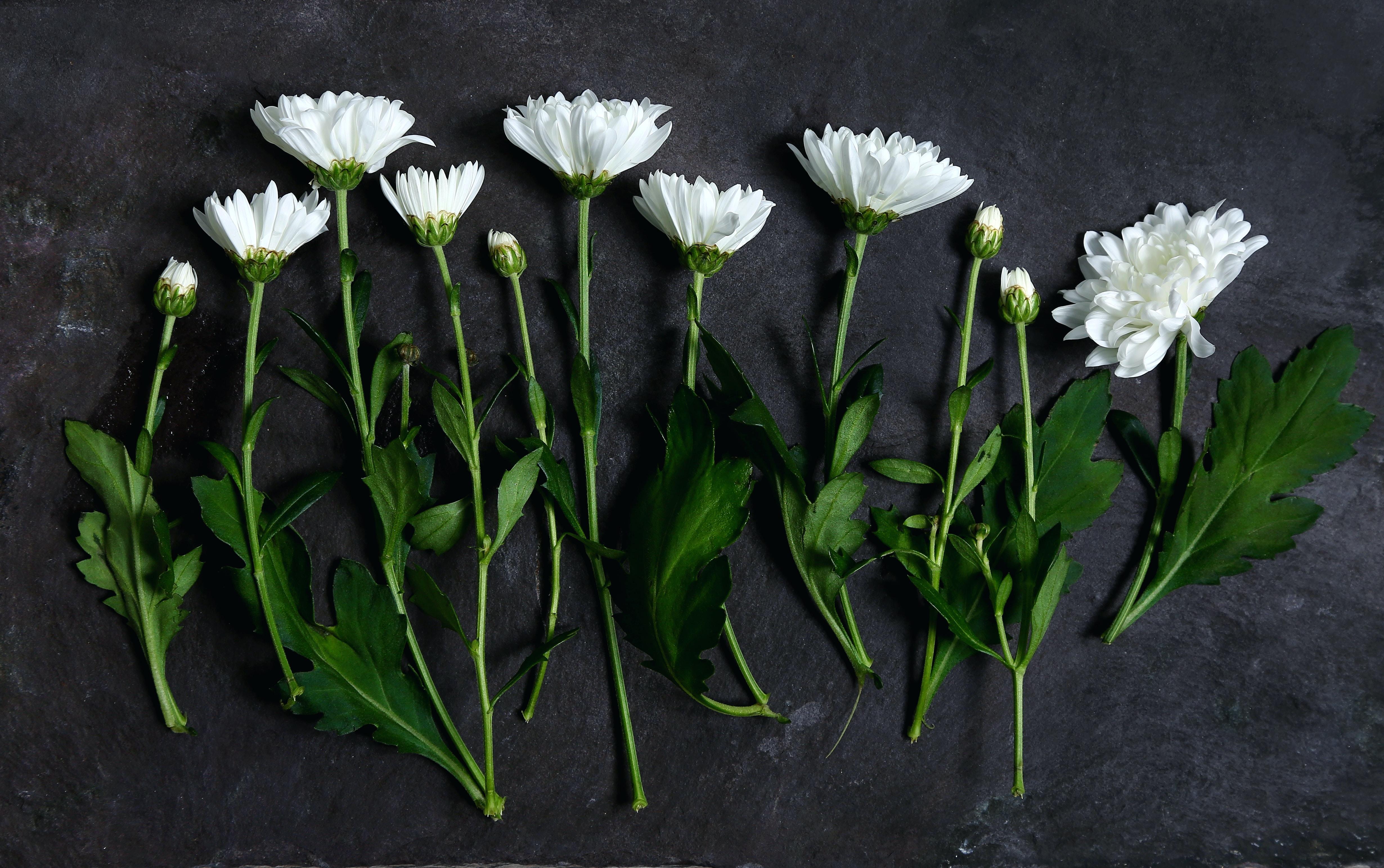 An overhead shot of white chrysanthemum flowers on a dark surface