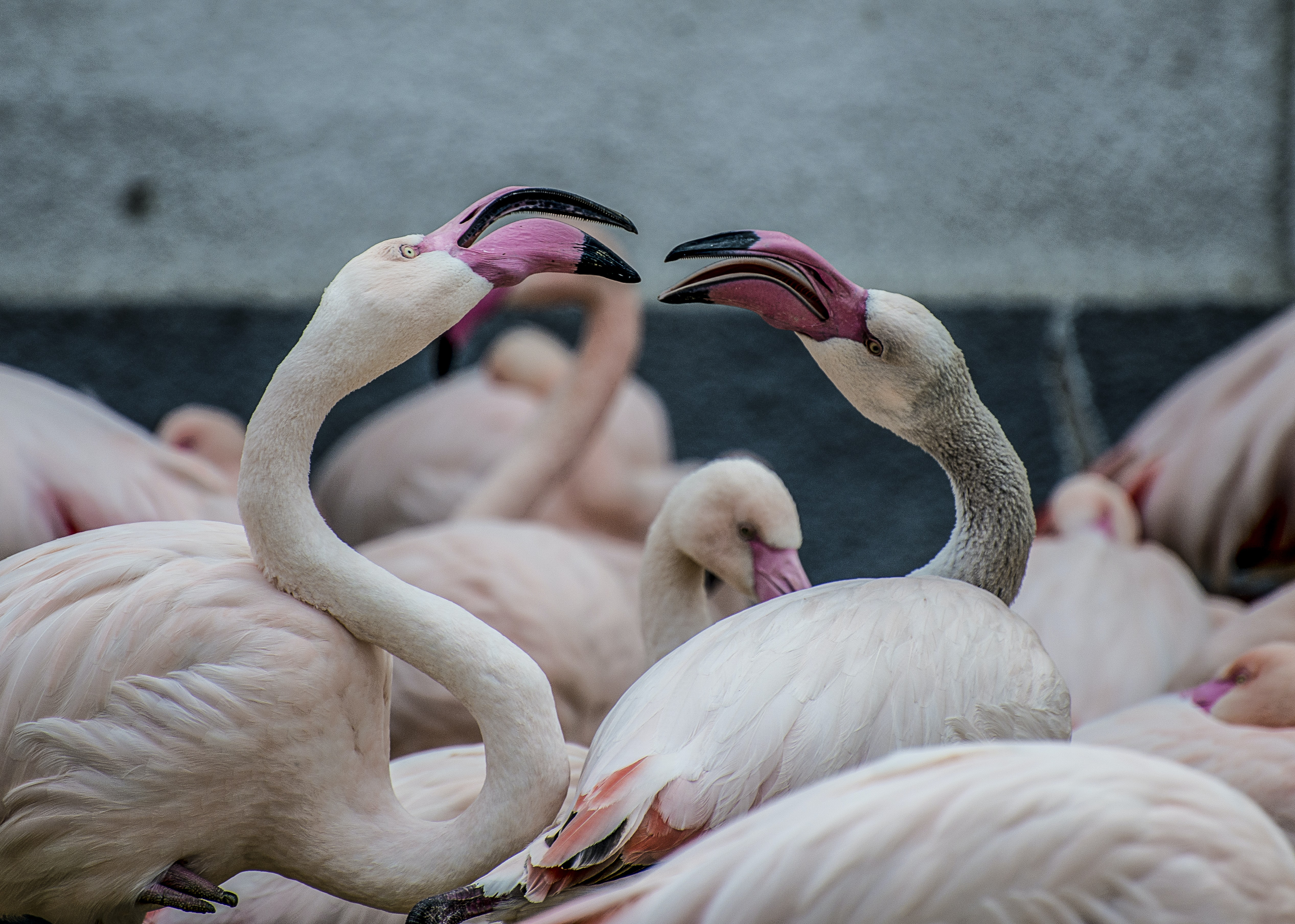 Flamingos fight each other among a flock of birds in Budapest