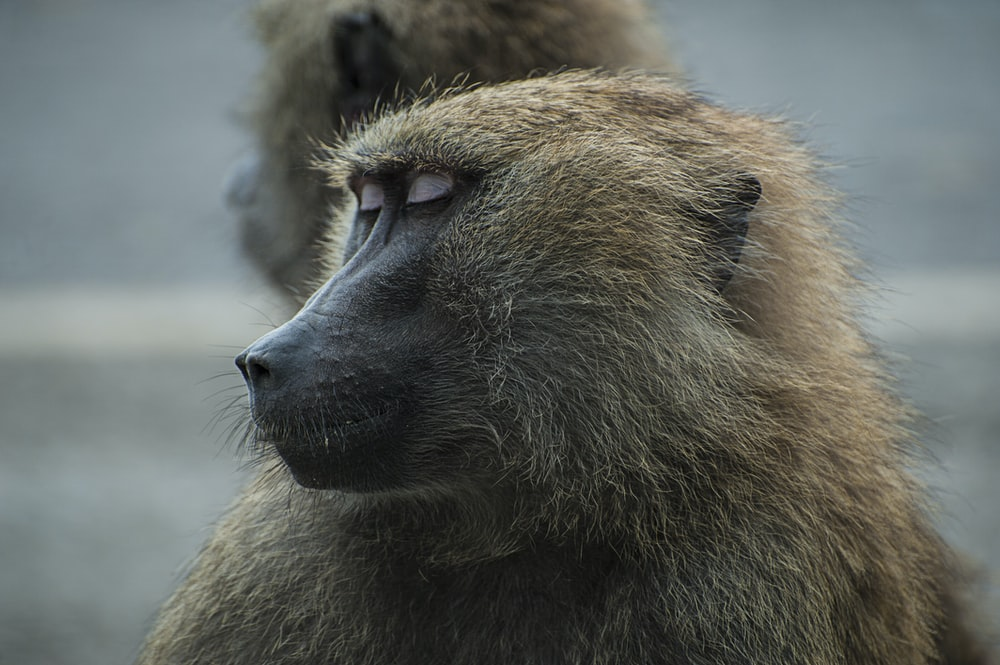sleeping brown primate