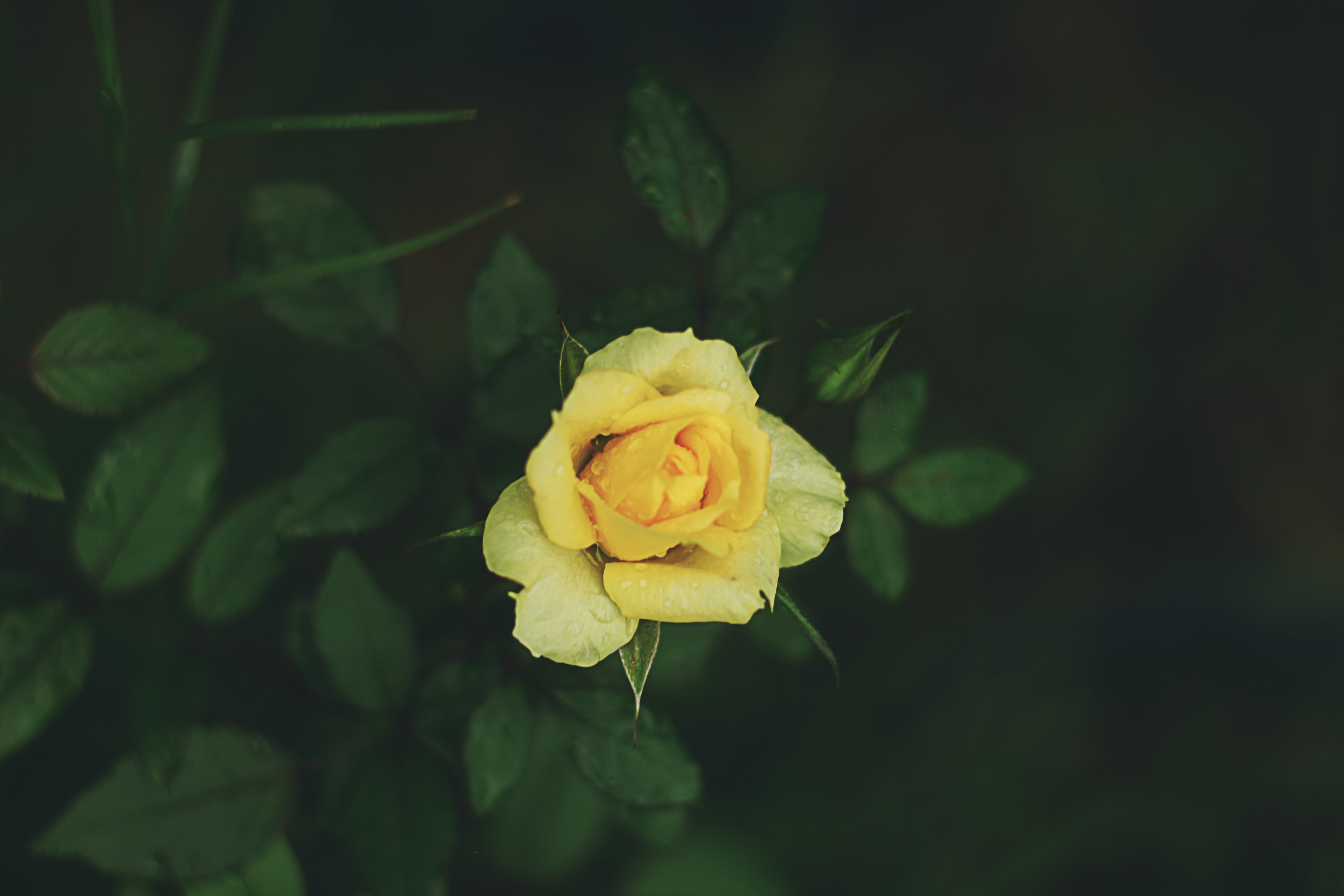 A close-up of a yellow rose covered with raindrops