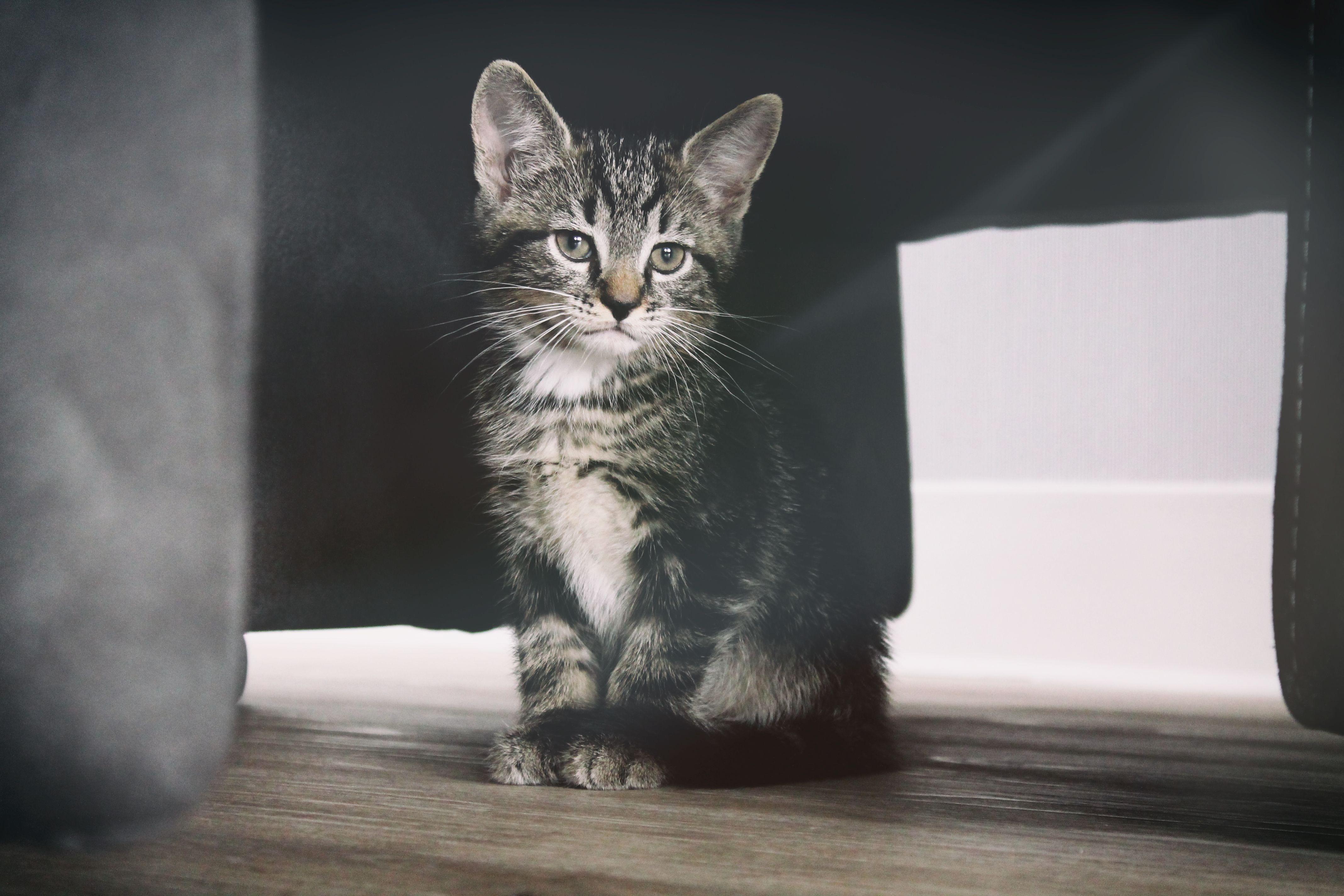 A tabby kitten sitting on a wooden floor