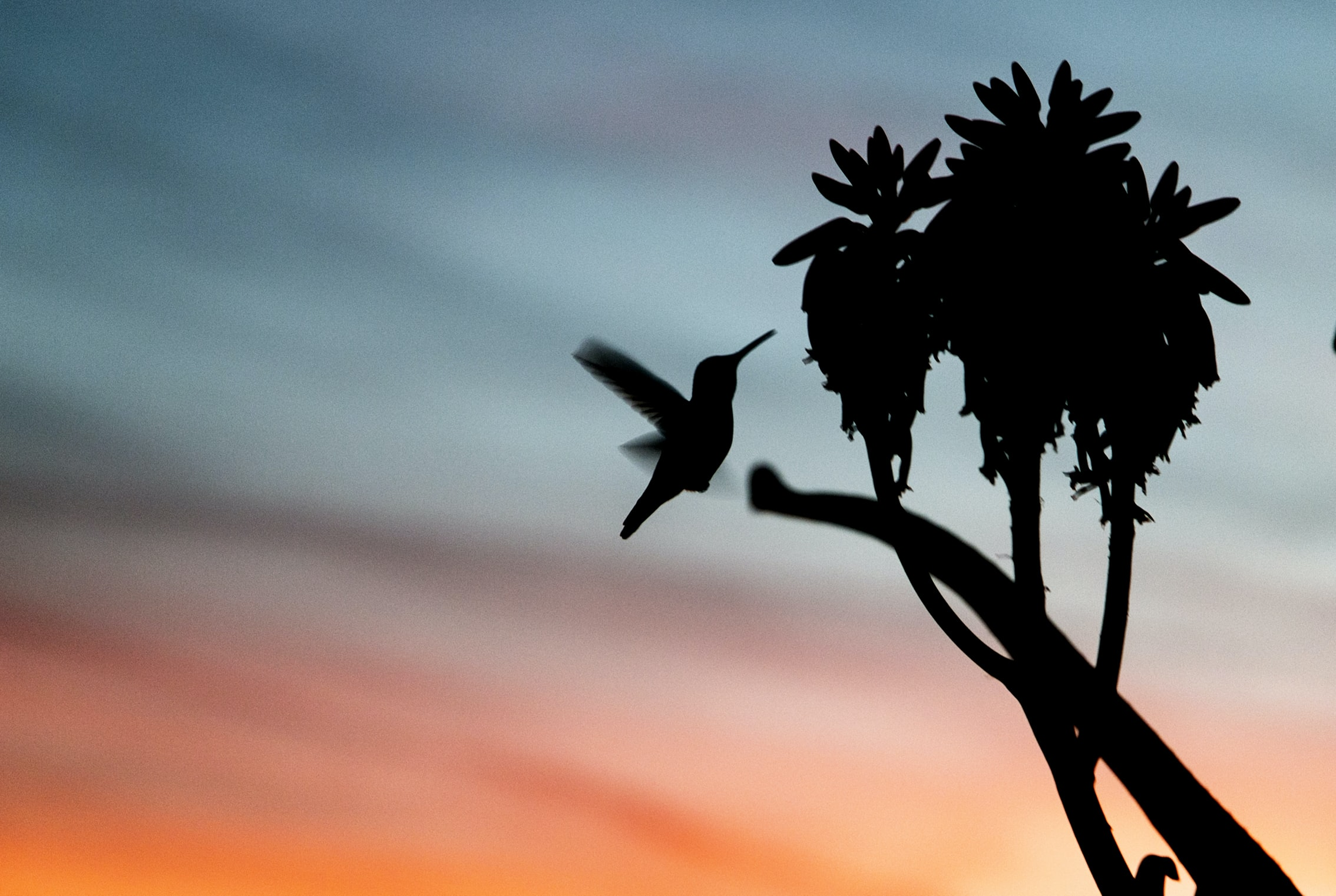 Silhouette of a hummingbird flying near plants against a blue and orange sky