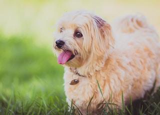 shallow focus photo fshort-coated beige dog