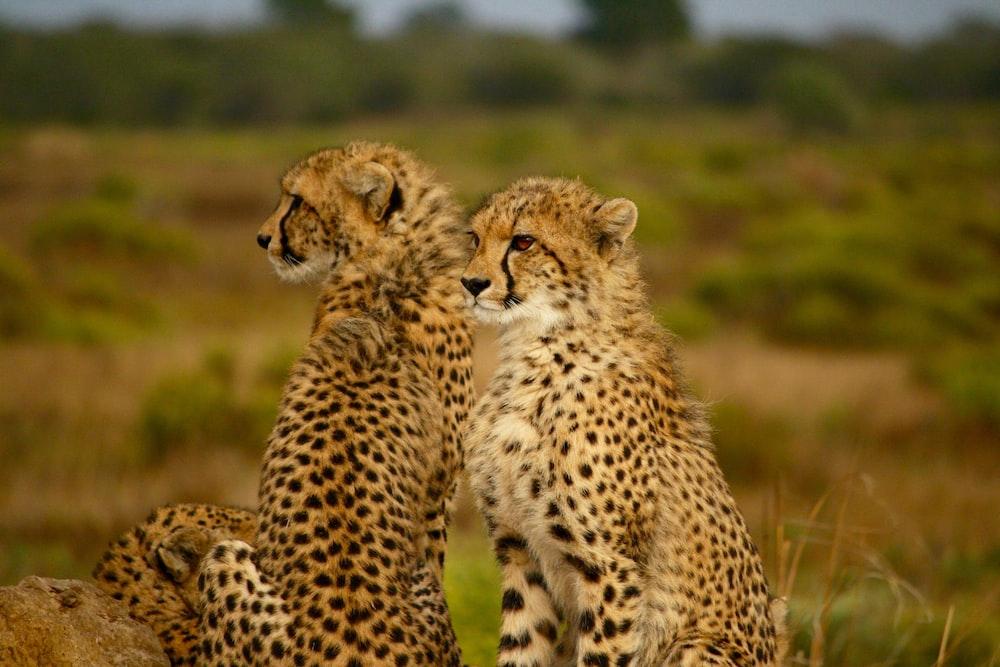 selective photography two cheetahs