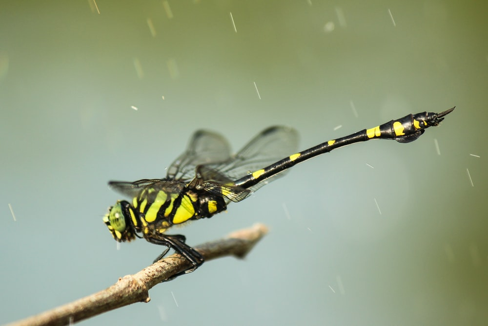 closeup photography of yellow and black dragonfly