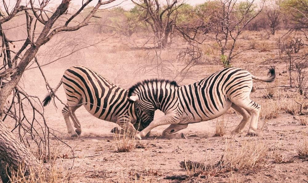 zebra during daytime