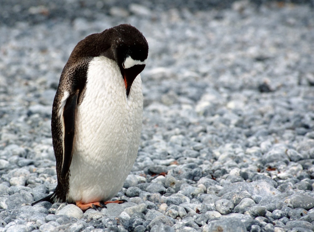 white and black penguin looking downward on field