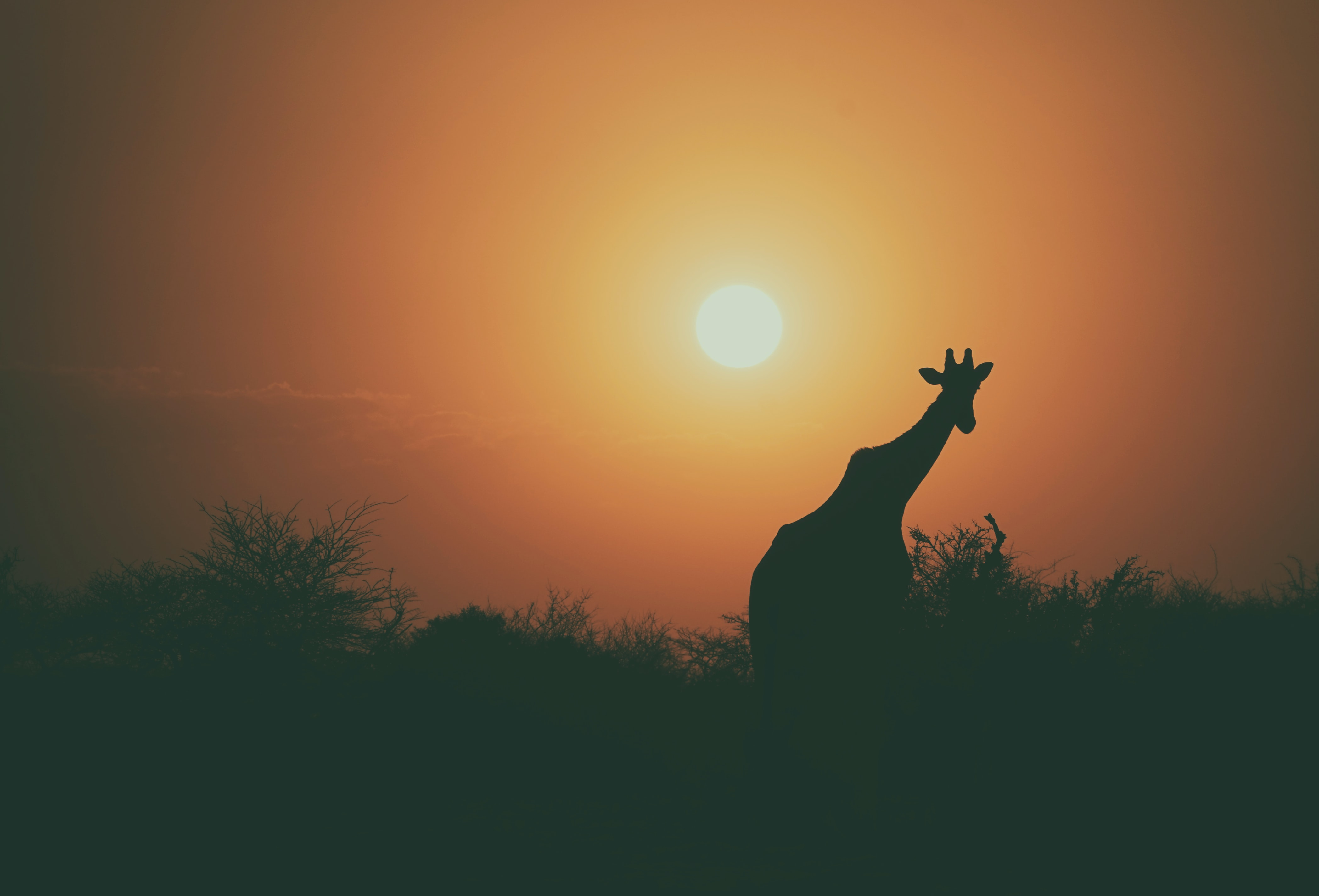 Silhouette Giraffe and tree line with orange sunrise-or-sunset horizon