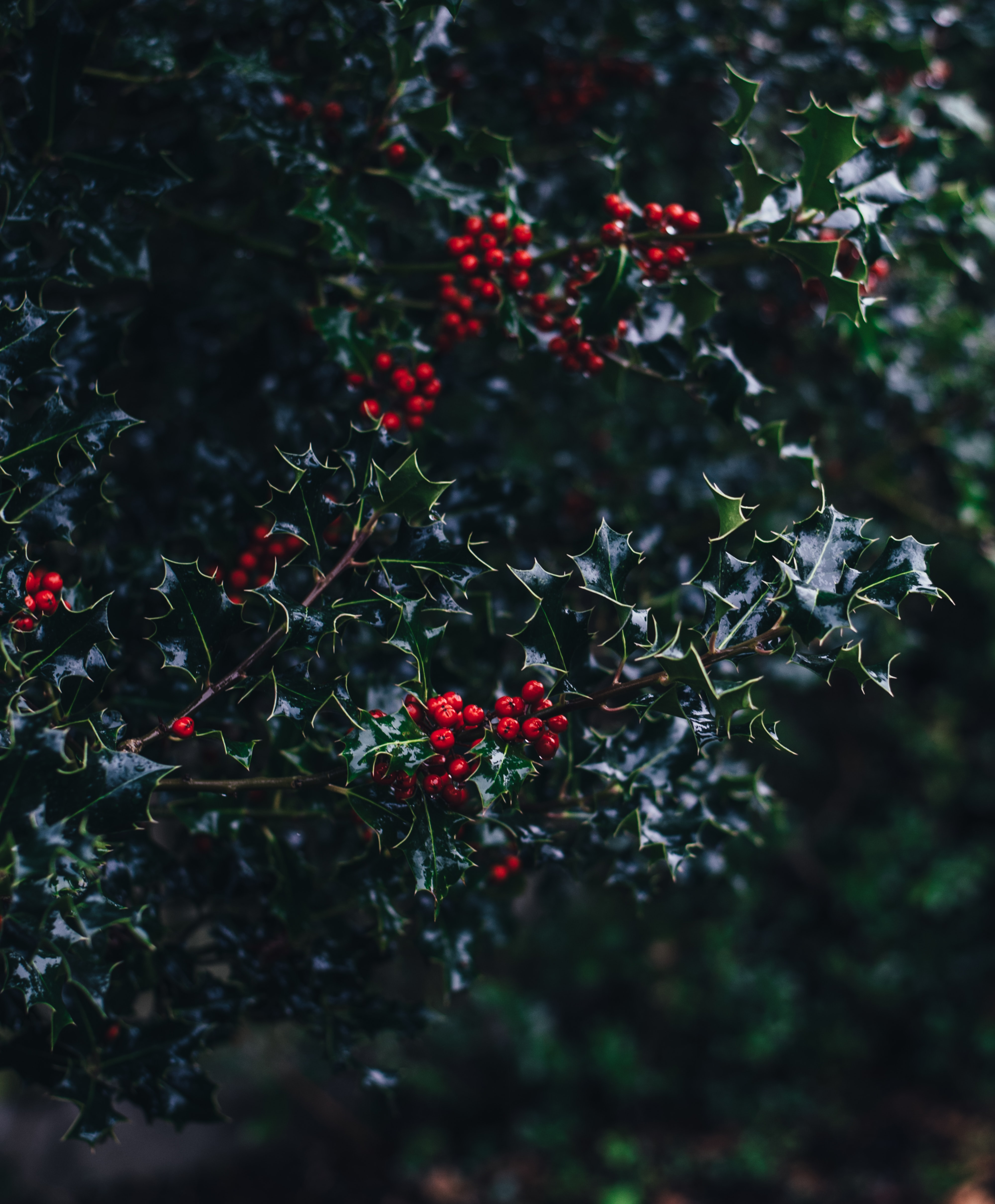 A macro view of festive Christmas leaves and berries on a tree.