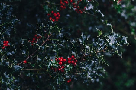 How to Grow Your Own Holiday Holly and Ivy in the Garden
