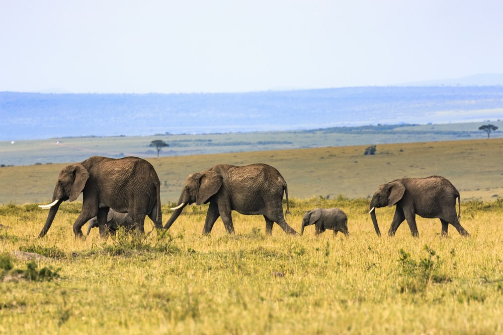 five elephants on brown grass