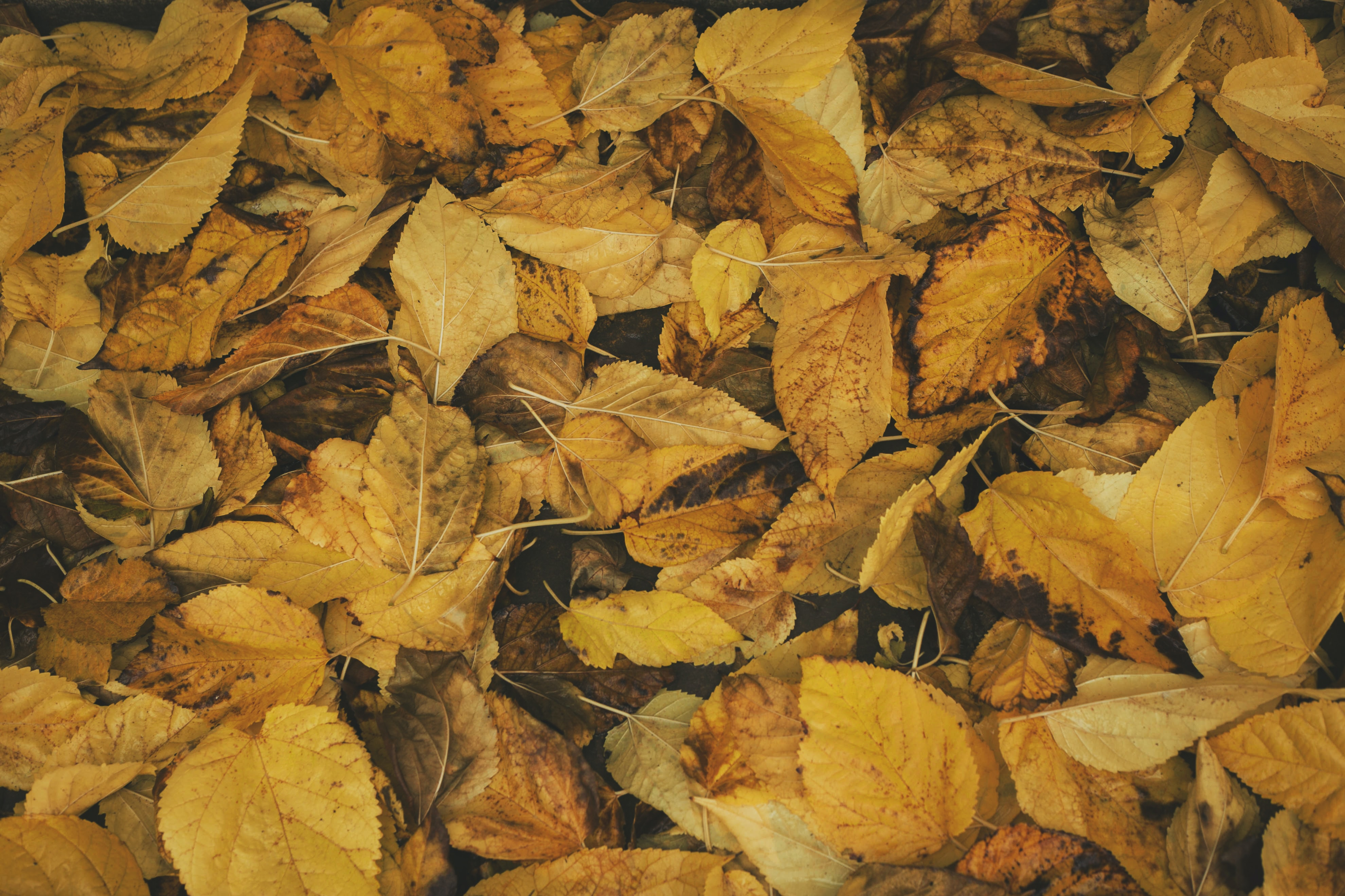 A pile of yellowed leaves on the ground