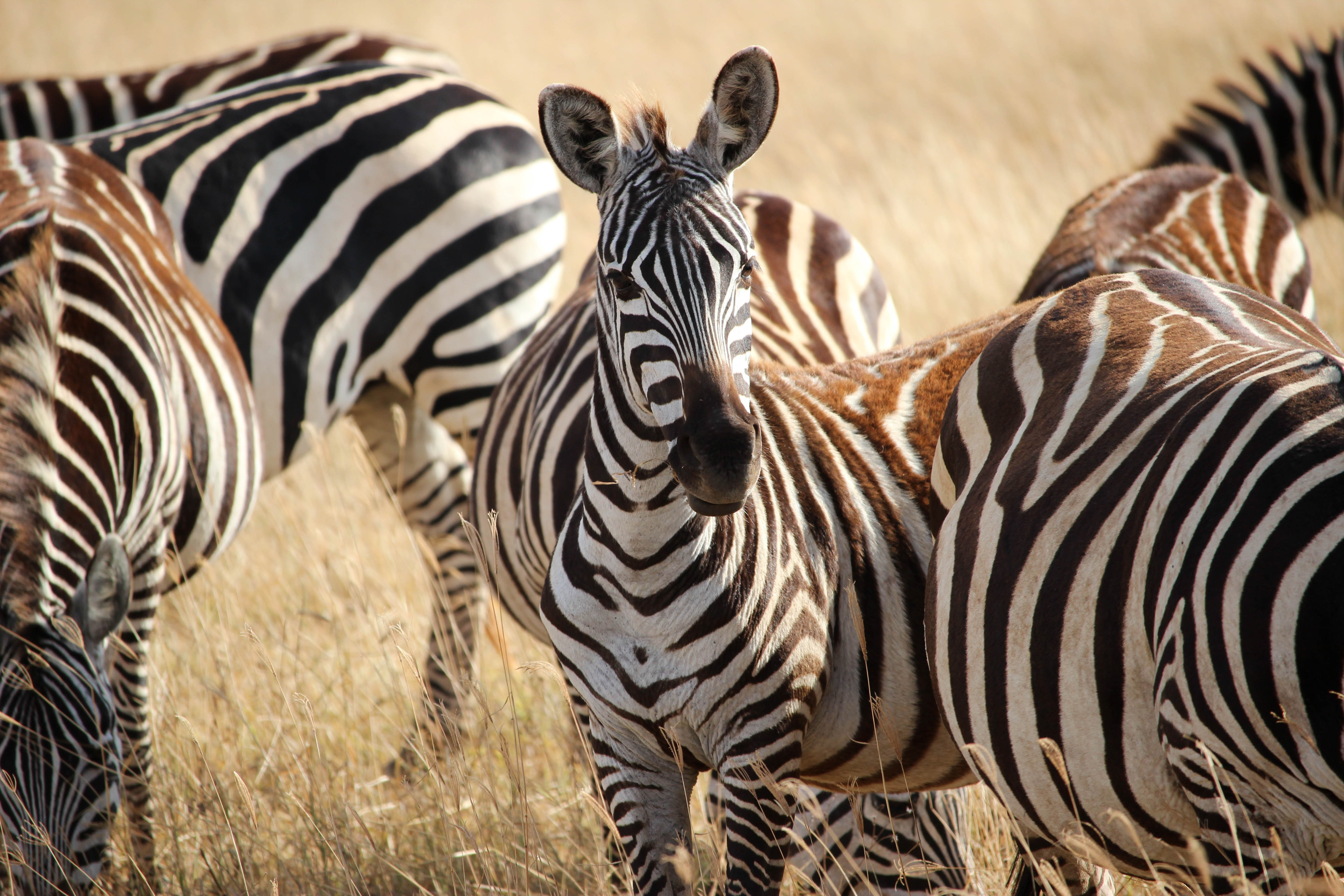 several zebras during daytime
