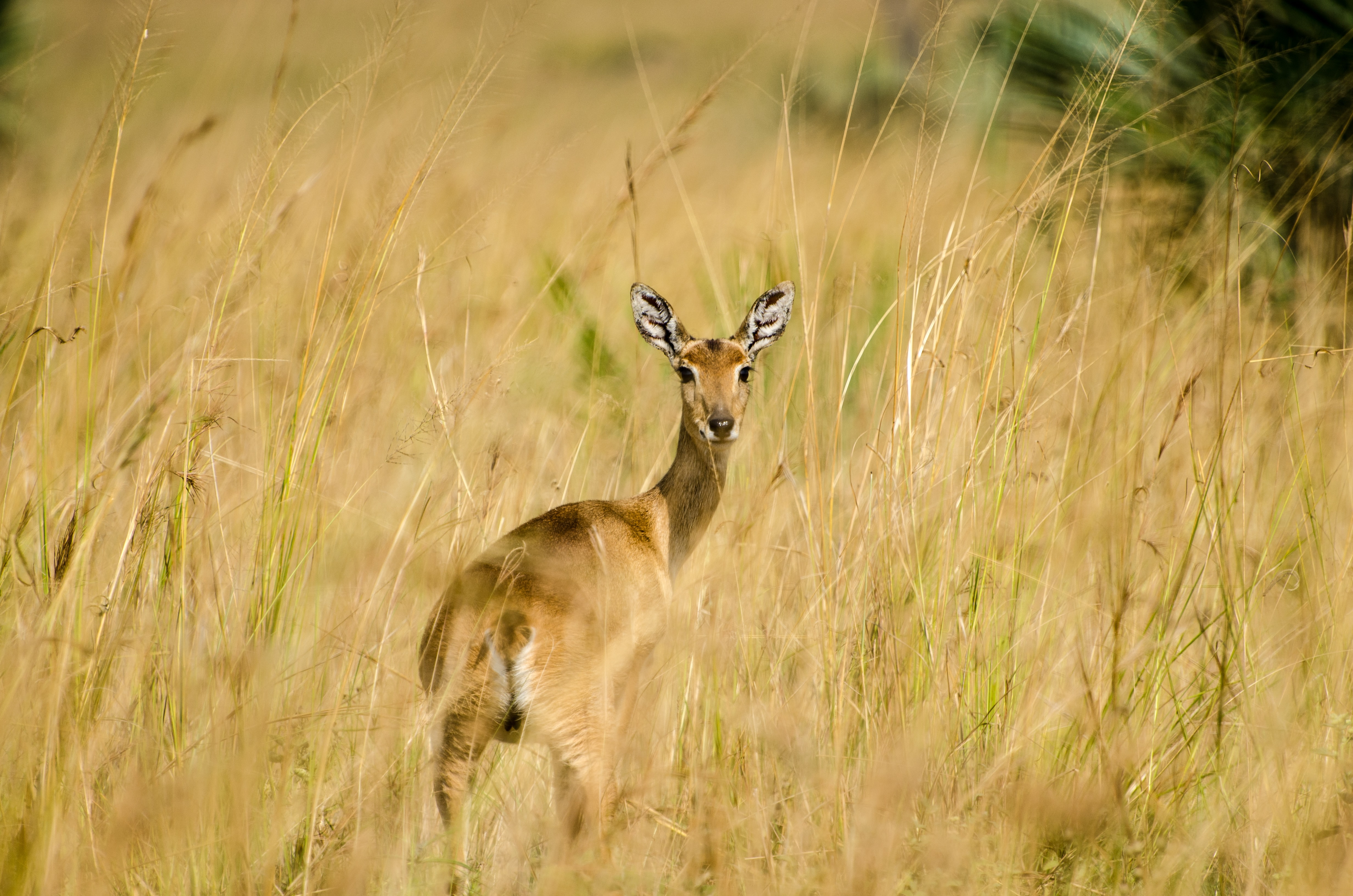 deer standing in the middle of brown field