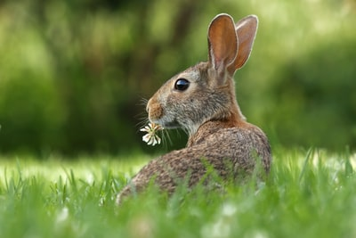 selective focus photo of brown rabbit on grasses bunny teams background