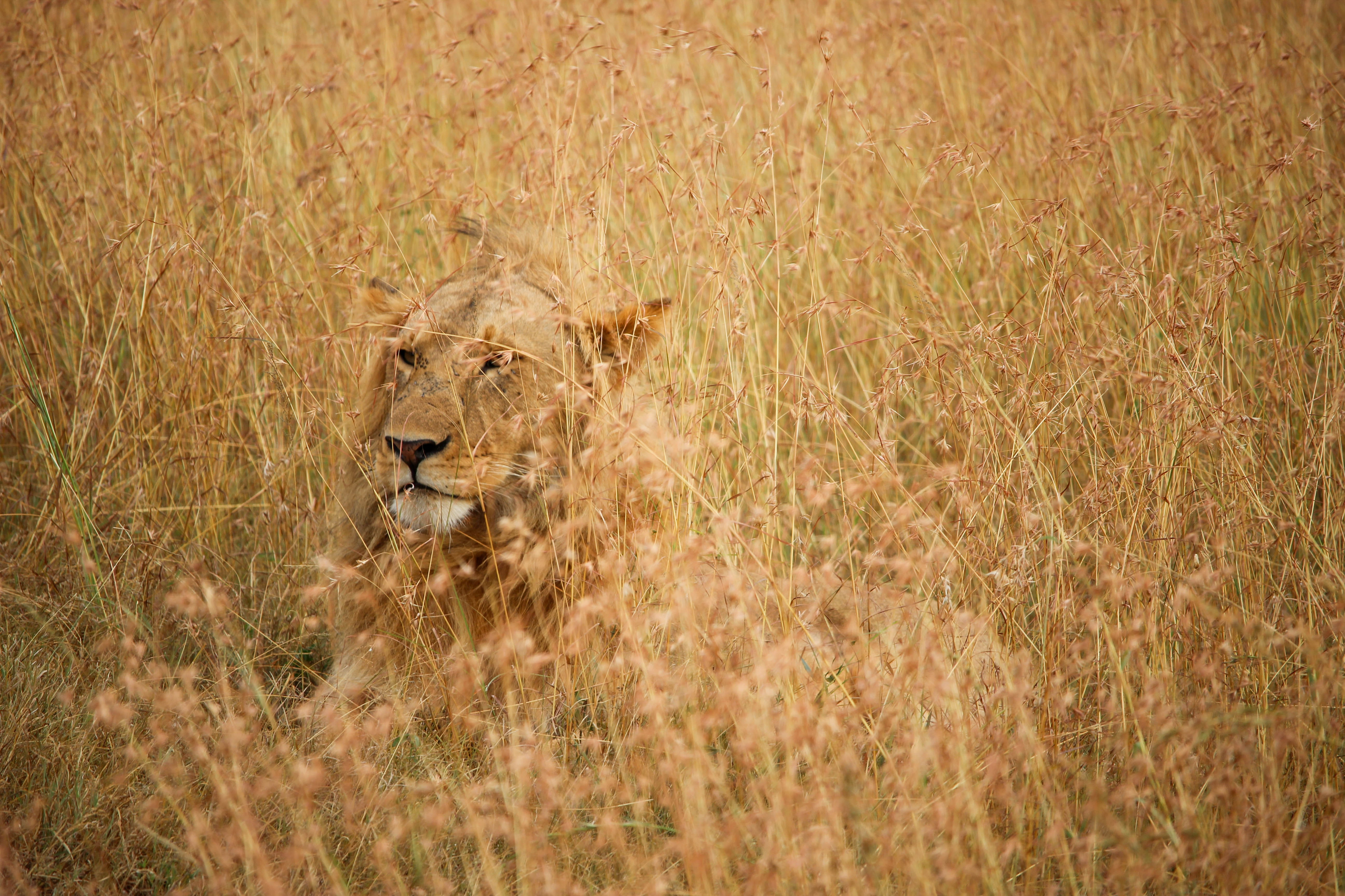 Male lion with mane hiding in camouflage in savanna grass, Masai Mara Game Reserve