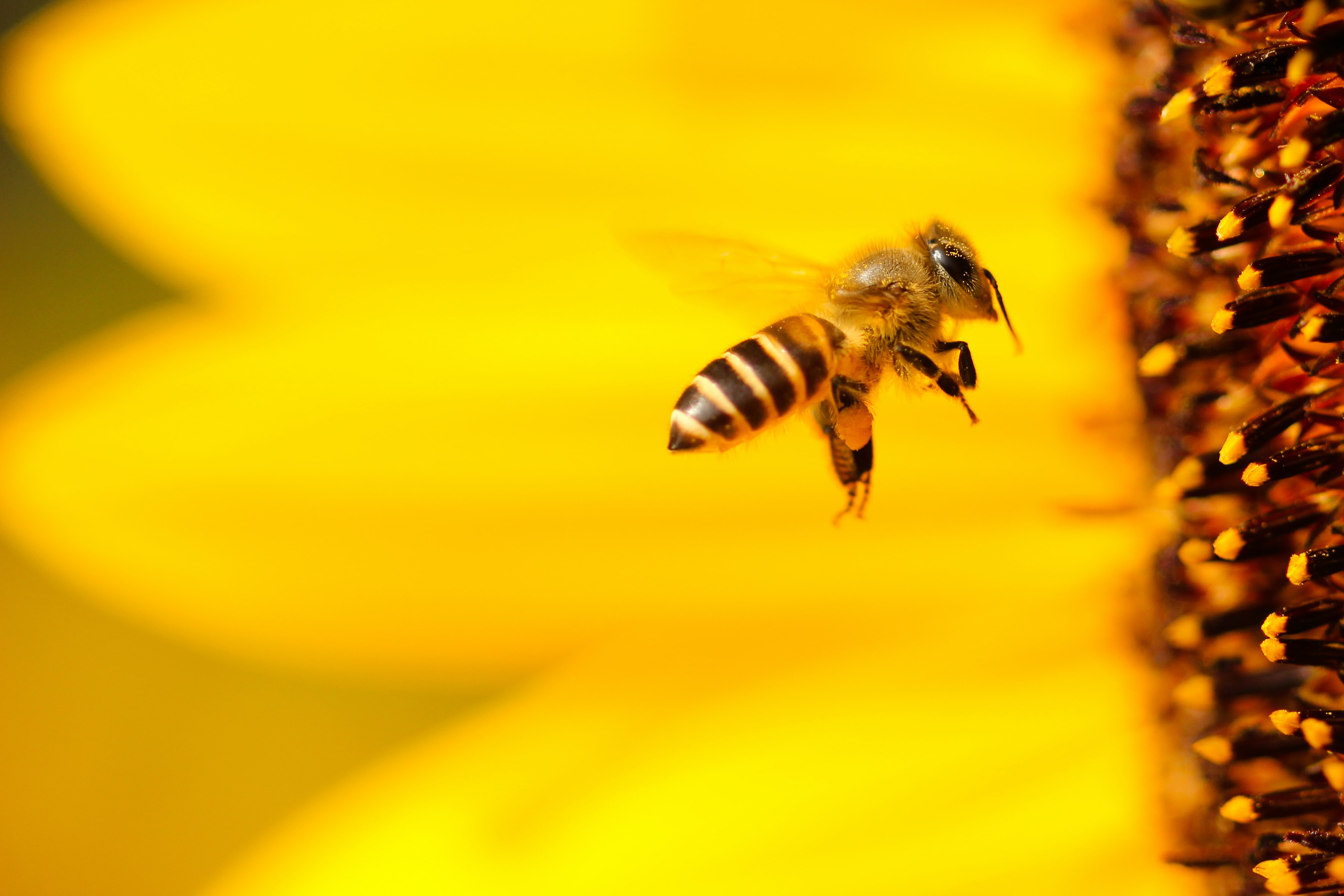 A macro shot of a bee flying up to a flower to gather its pollen