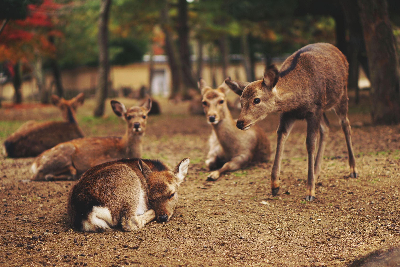 five brown deer
