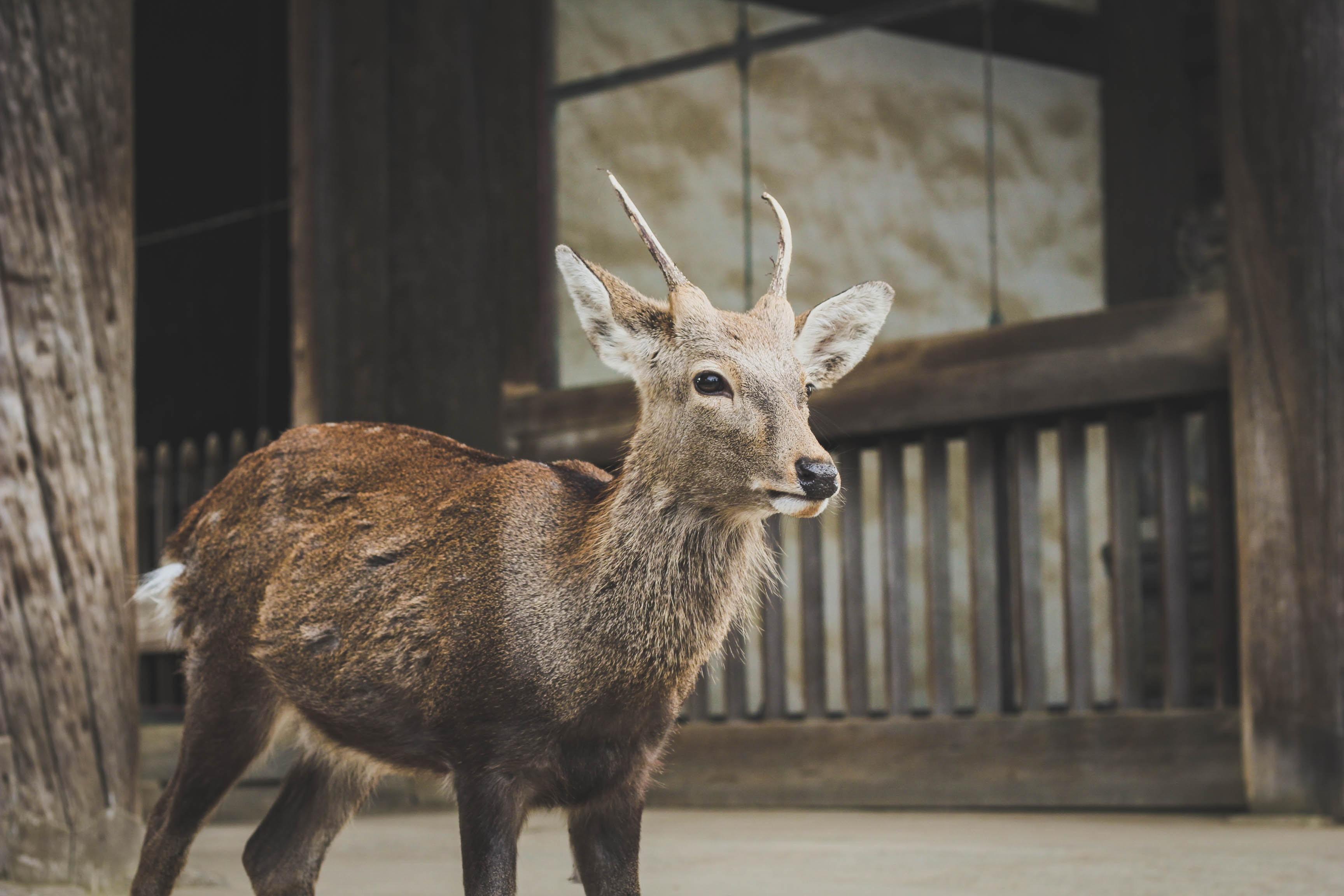 brown deer standing near wooden fence