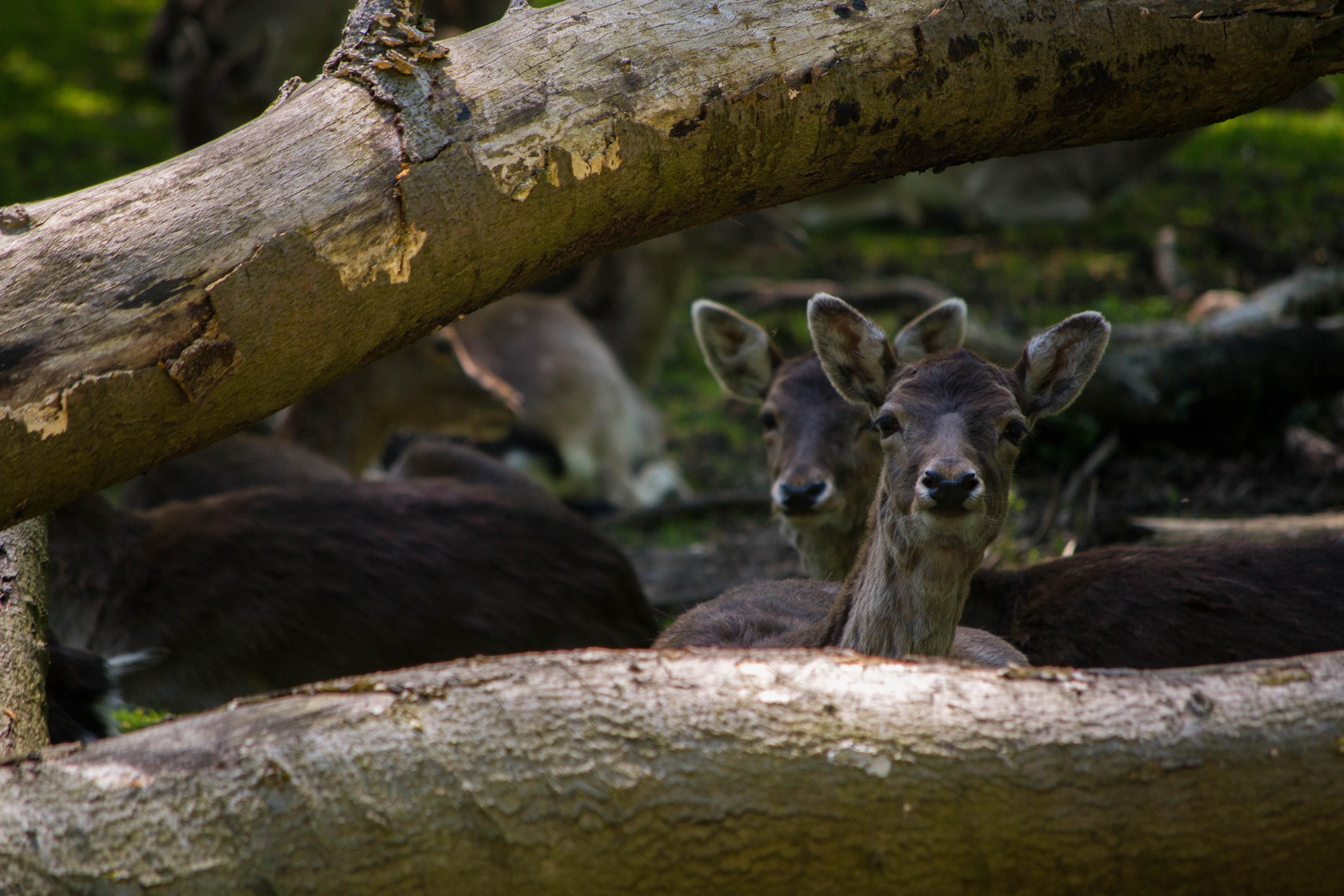 herd of deer under tree log