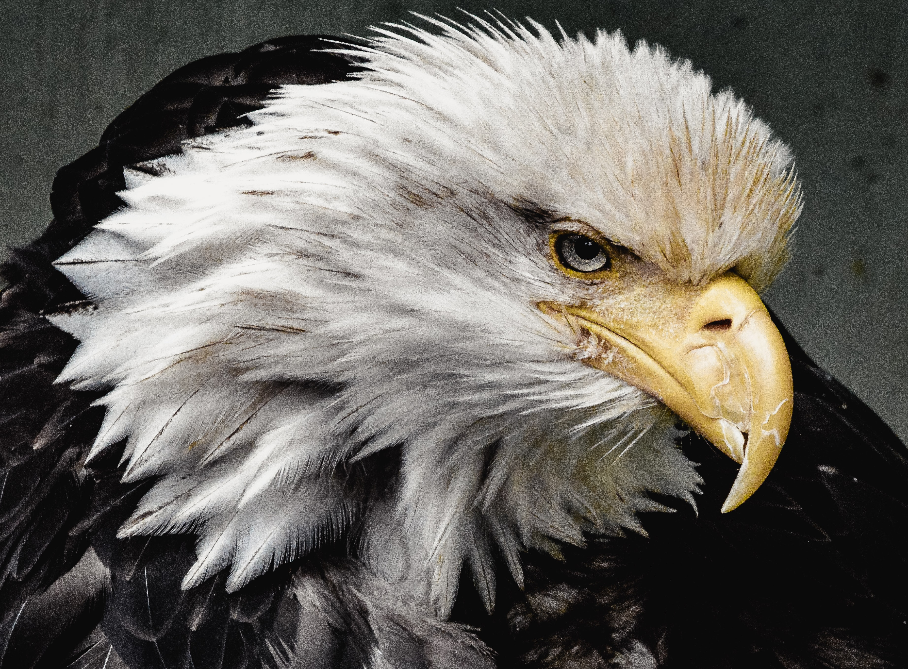 An eagle with white feathered head turning to one side