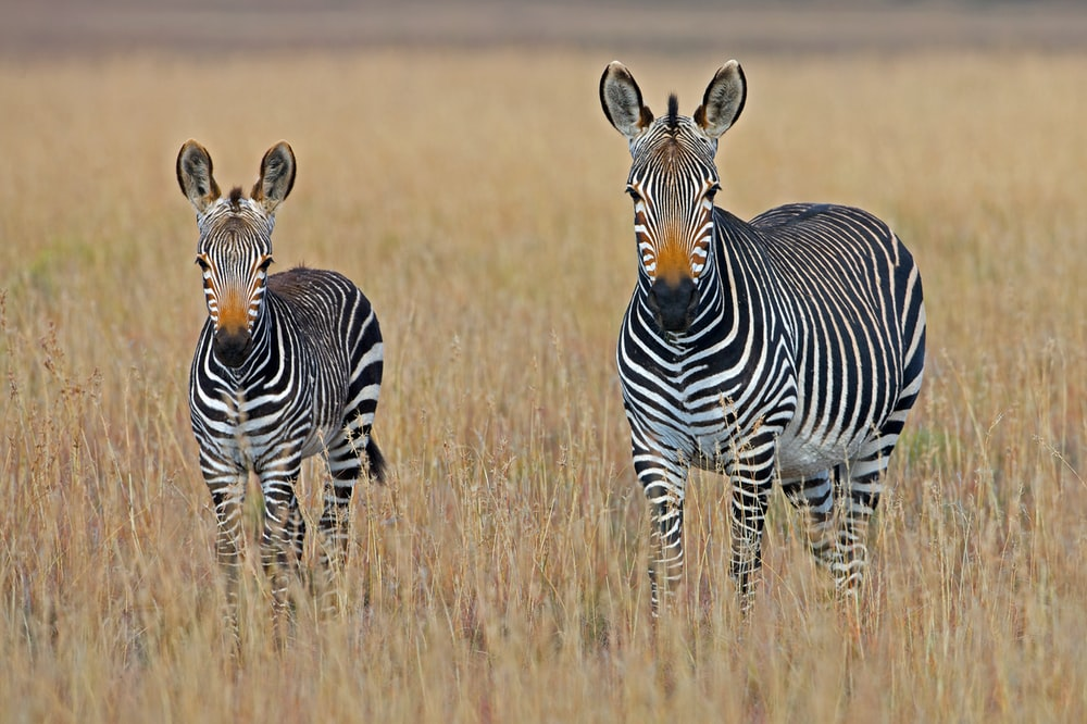 two zebra standing on brown grass field