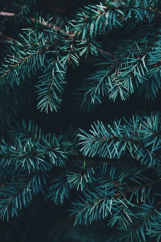 closeup photo of green Christmas tree
