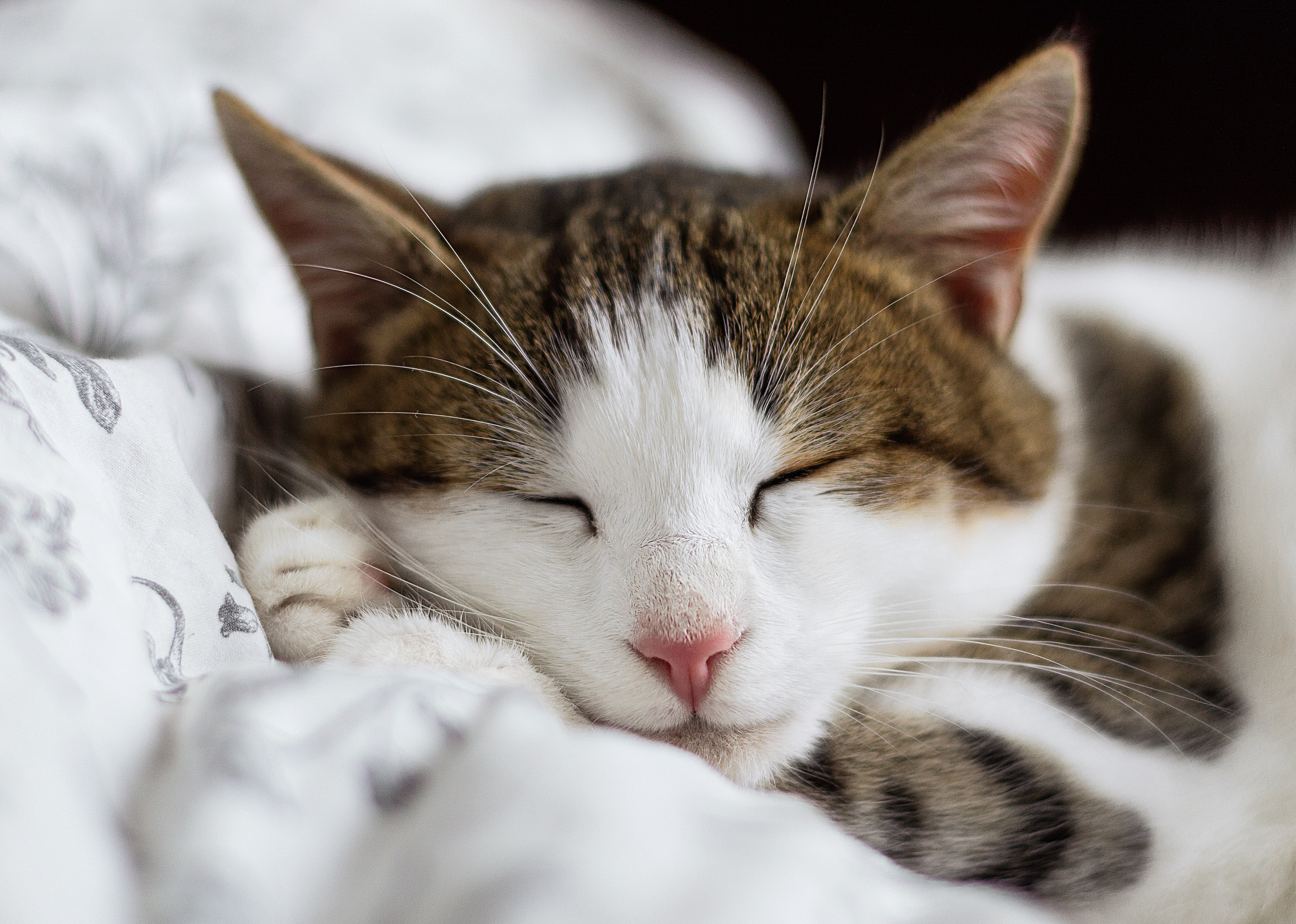 Close-up of a sleeping white and brown tabby cat
