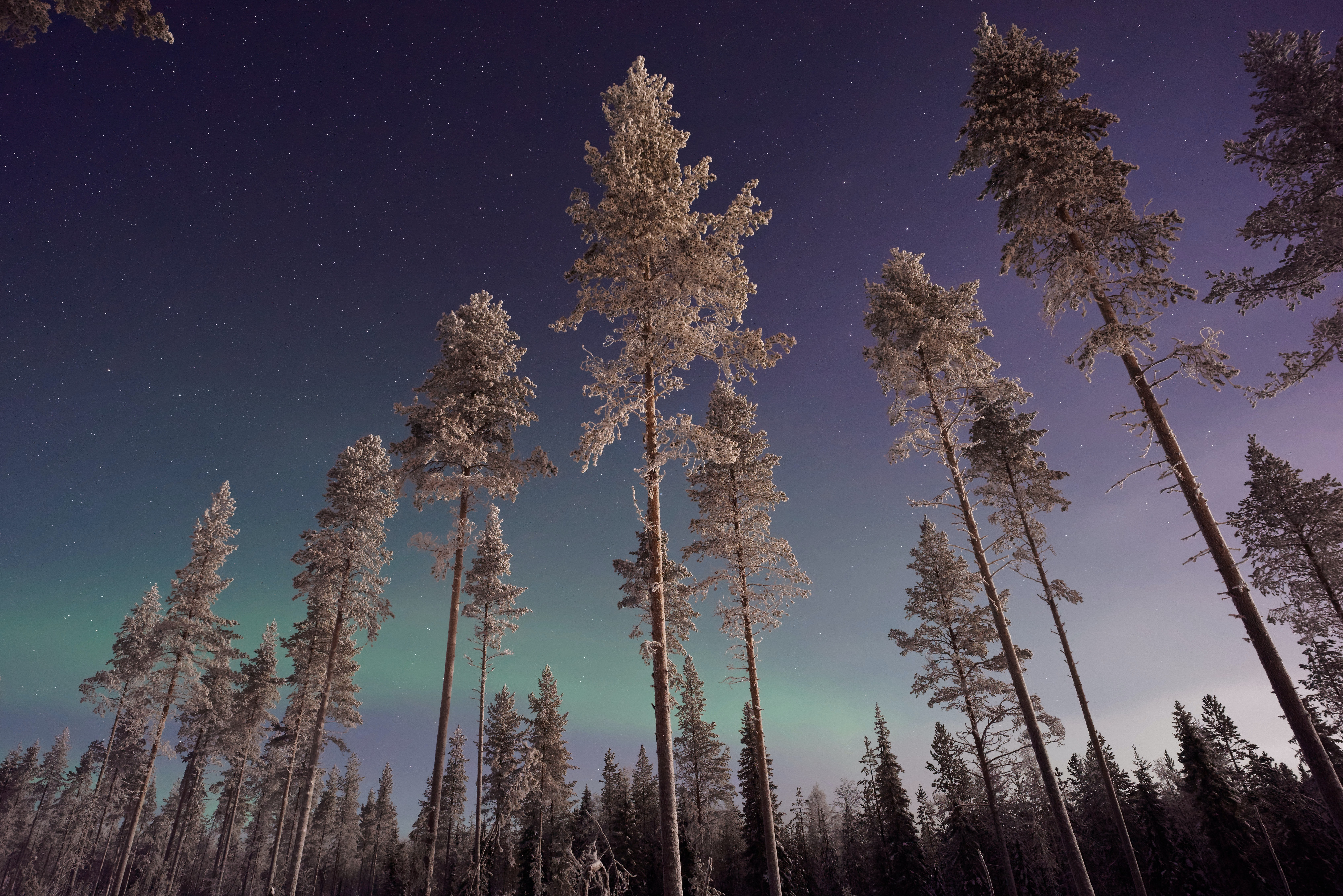 Snowy pines against a night sky with northern lights in Lapland