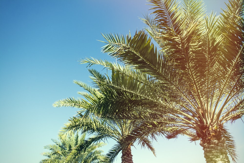 20 palm tree pictures download free images on unsplash palm tree pictures voltagebd Images