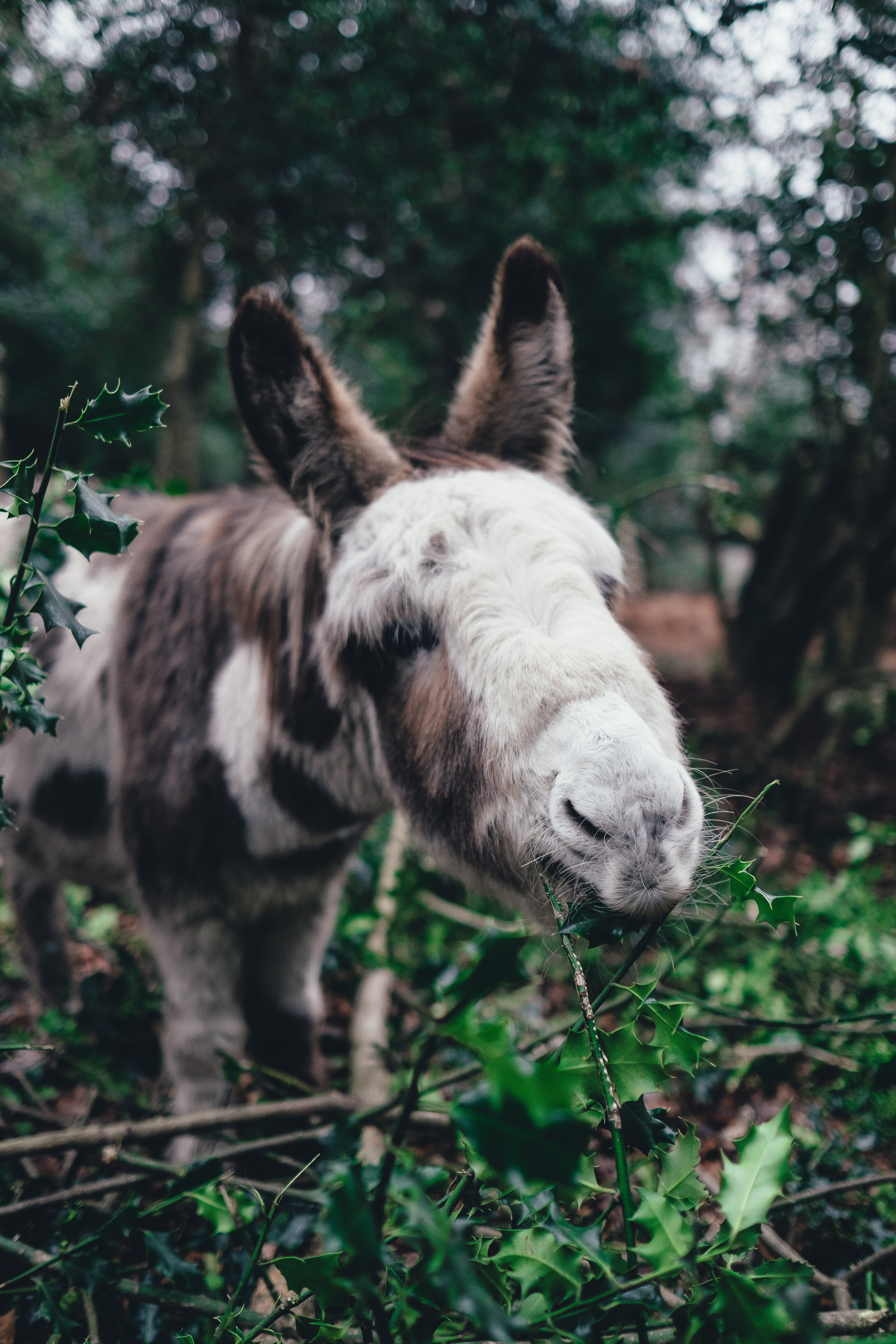 A white and brown donkey nibbling on holly leaves