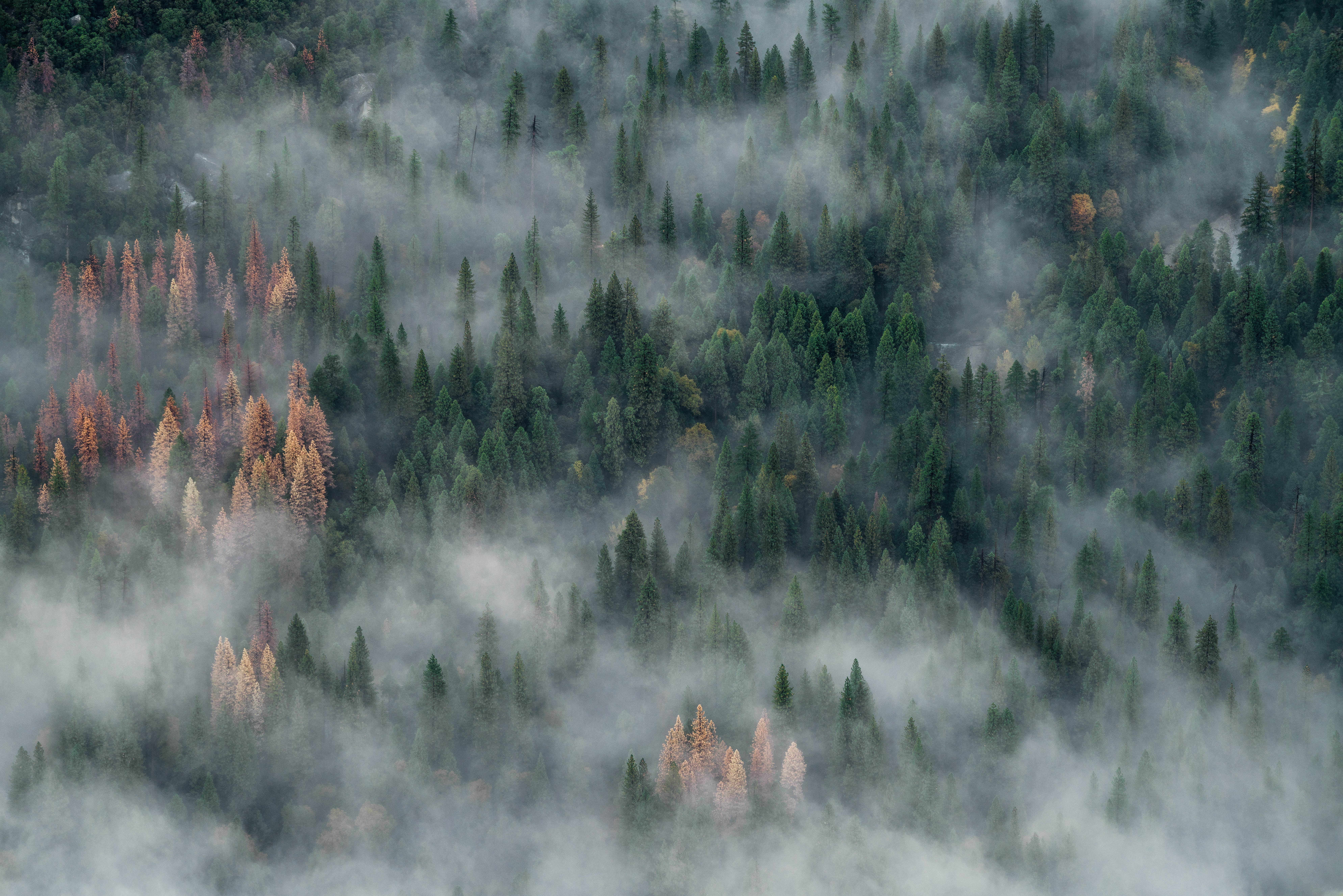 A drone shot of a coniferous forest shrouded in mist in Yosemite Valley