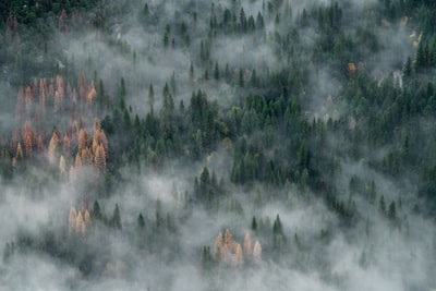 We were looking to capture a foggy sunrise view of Half-Dome in Yosemite, but the weather wasn't cooperating with us. The fog that did show up was low-lying and moving quickly through the trees like a ghostly river meandering through the canyon, swirling around the tallest trees in small eddies. Like too many forests, the valley is infested with borers, which has killed thousands of trees. The splash of golden trees mixed with the green is actually really beautiful, but a sad reminder of how fragile the forest is.