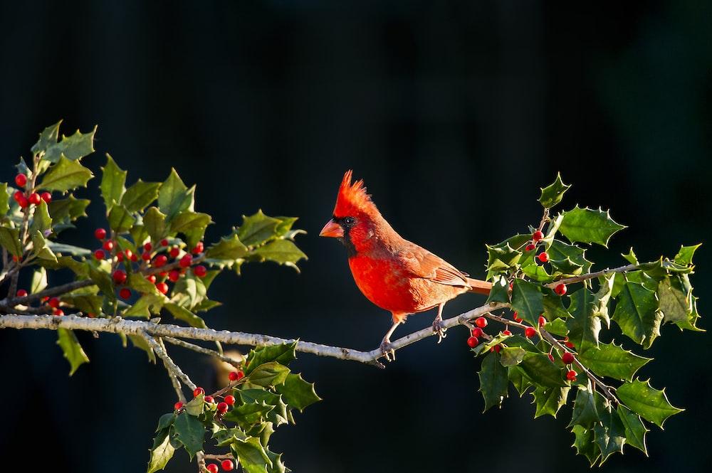 shallow focus of Cardinal bird on tree branch