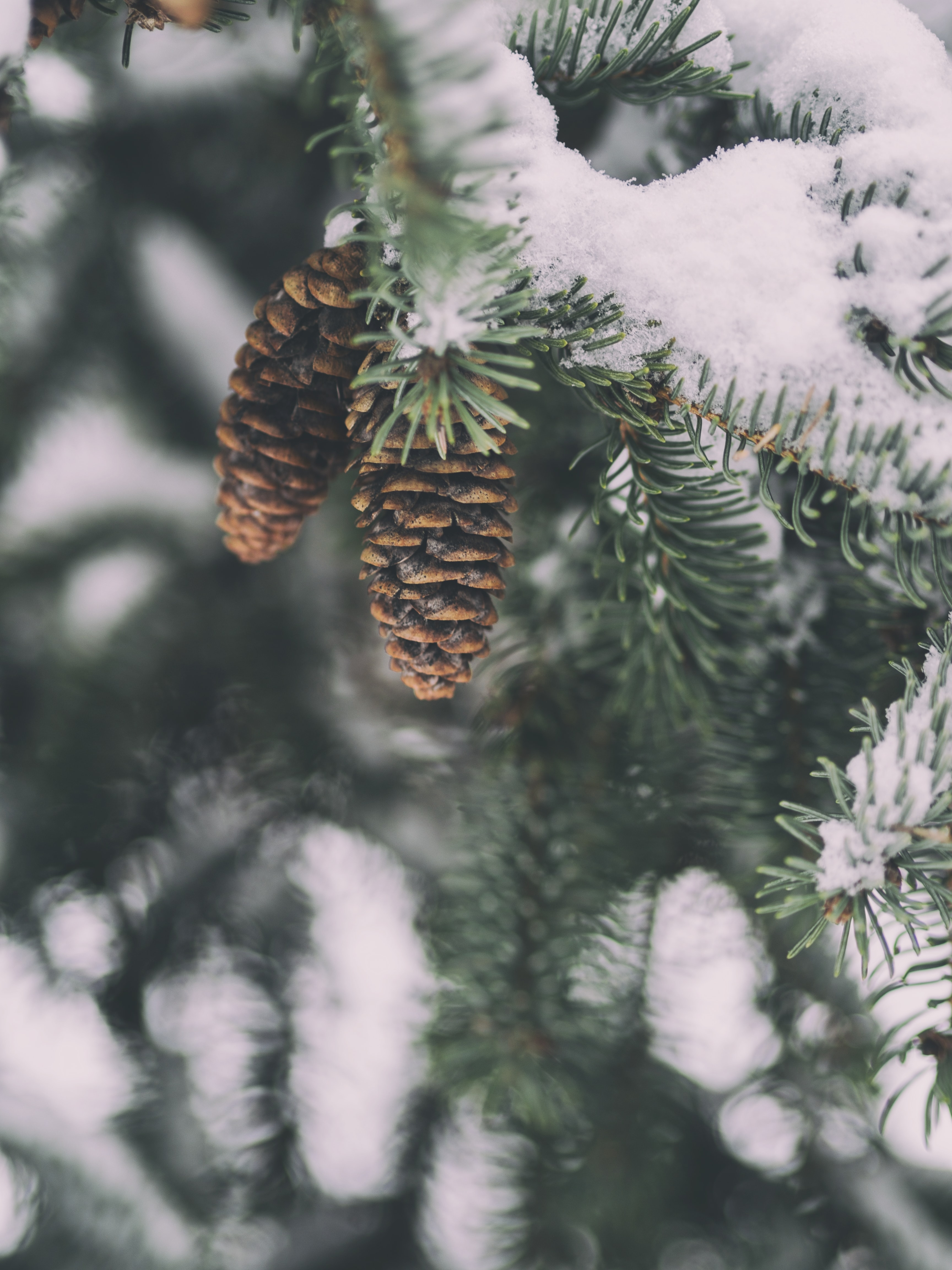 Two pine cones hanging on a snowy pine tree