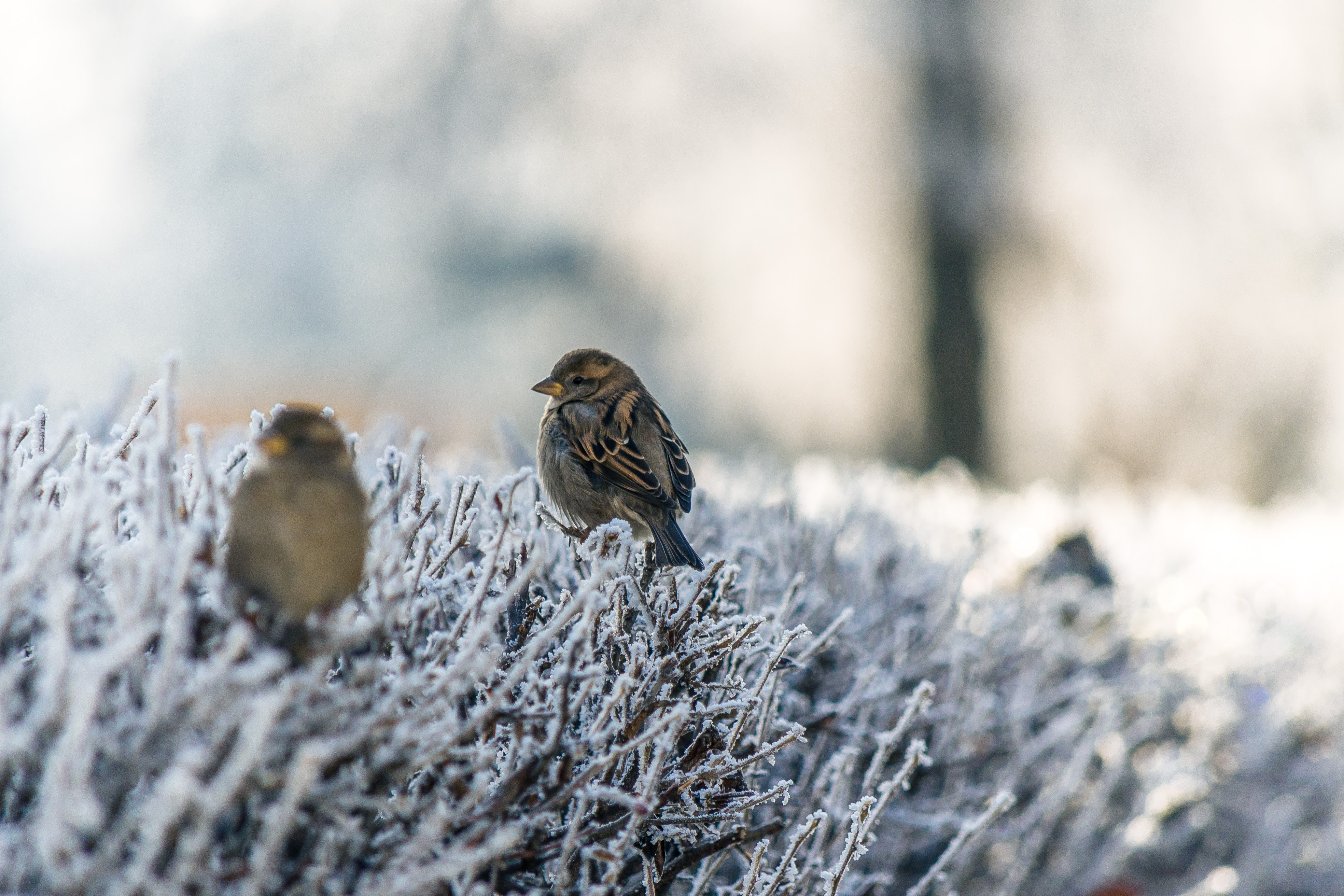 Sparrows sitting on frosted branches on a bush with a soft background